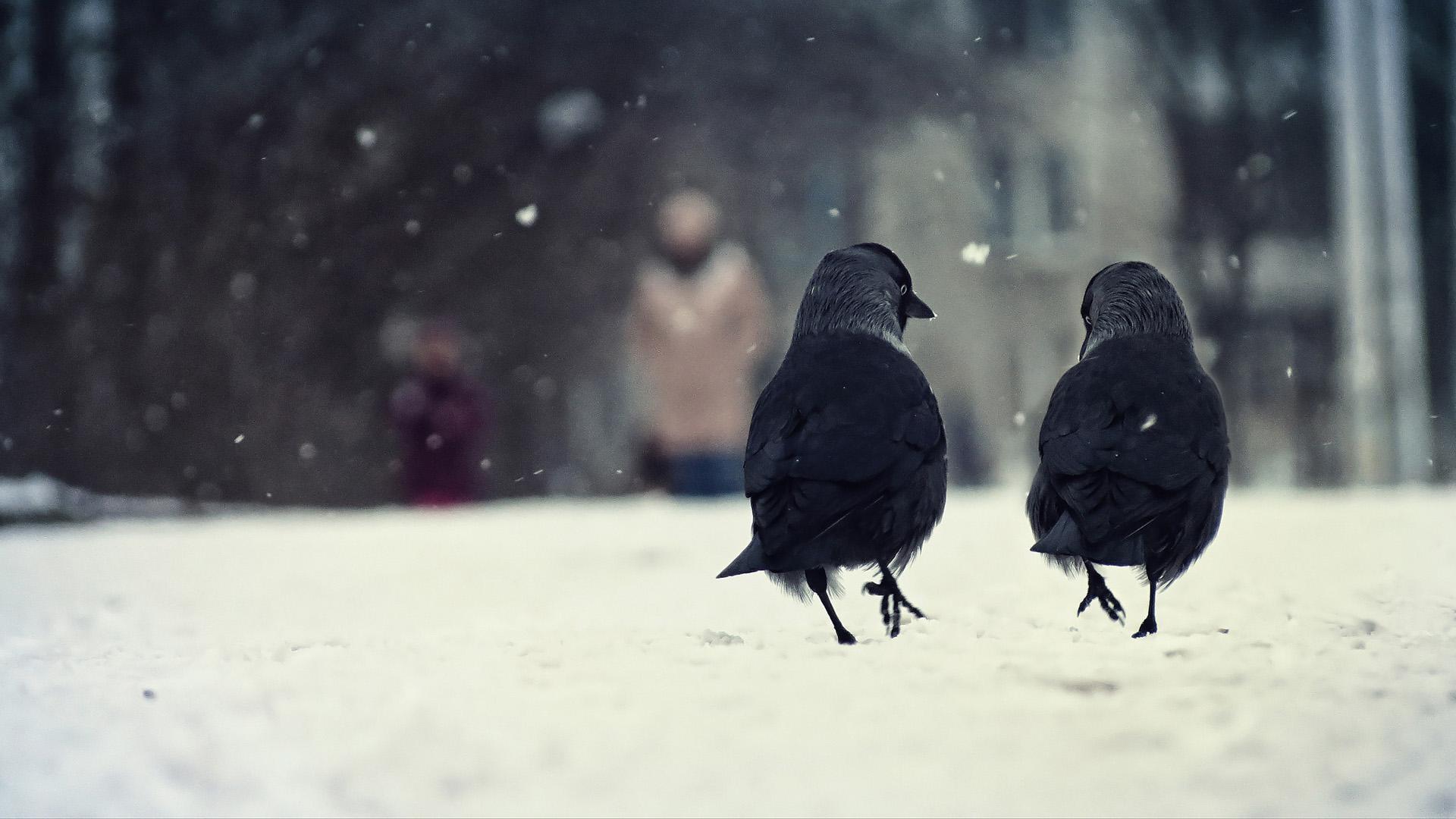 Birds, two, winter, snow, walking, talking, animal wallpaper thumb