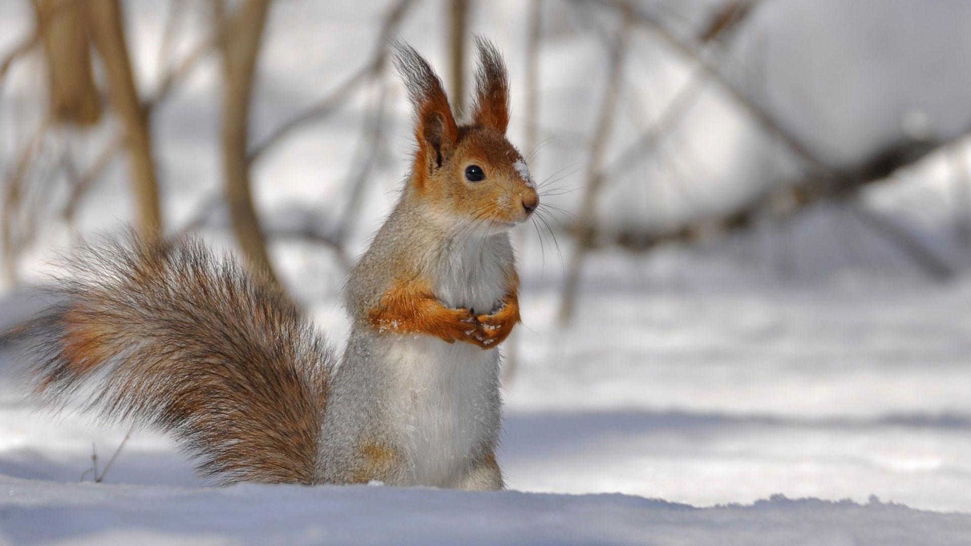 hd pics photos cute squirrel snow ice winter polar animals hd quality  desktop background wallpaper