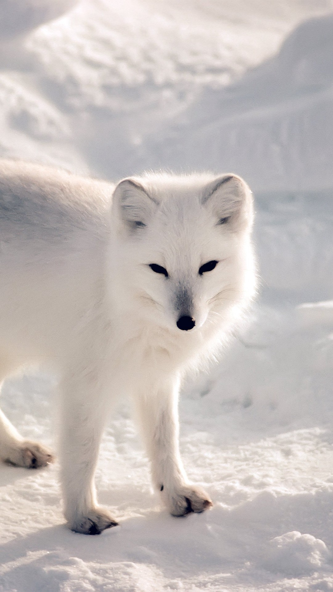 White Artic Fox Snow Winter Animal iPhone 6 wallpaper