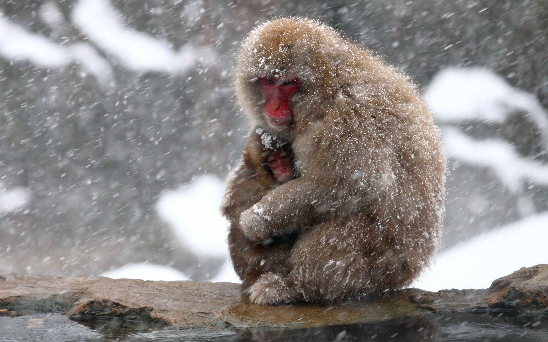 Animals monkey nature winter cute mother snow snowflake snowing wallpaper |  | 23954 | WallpaperUP