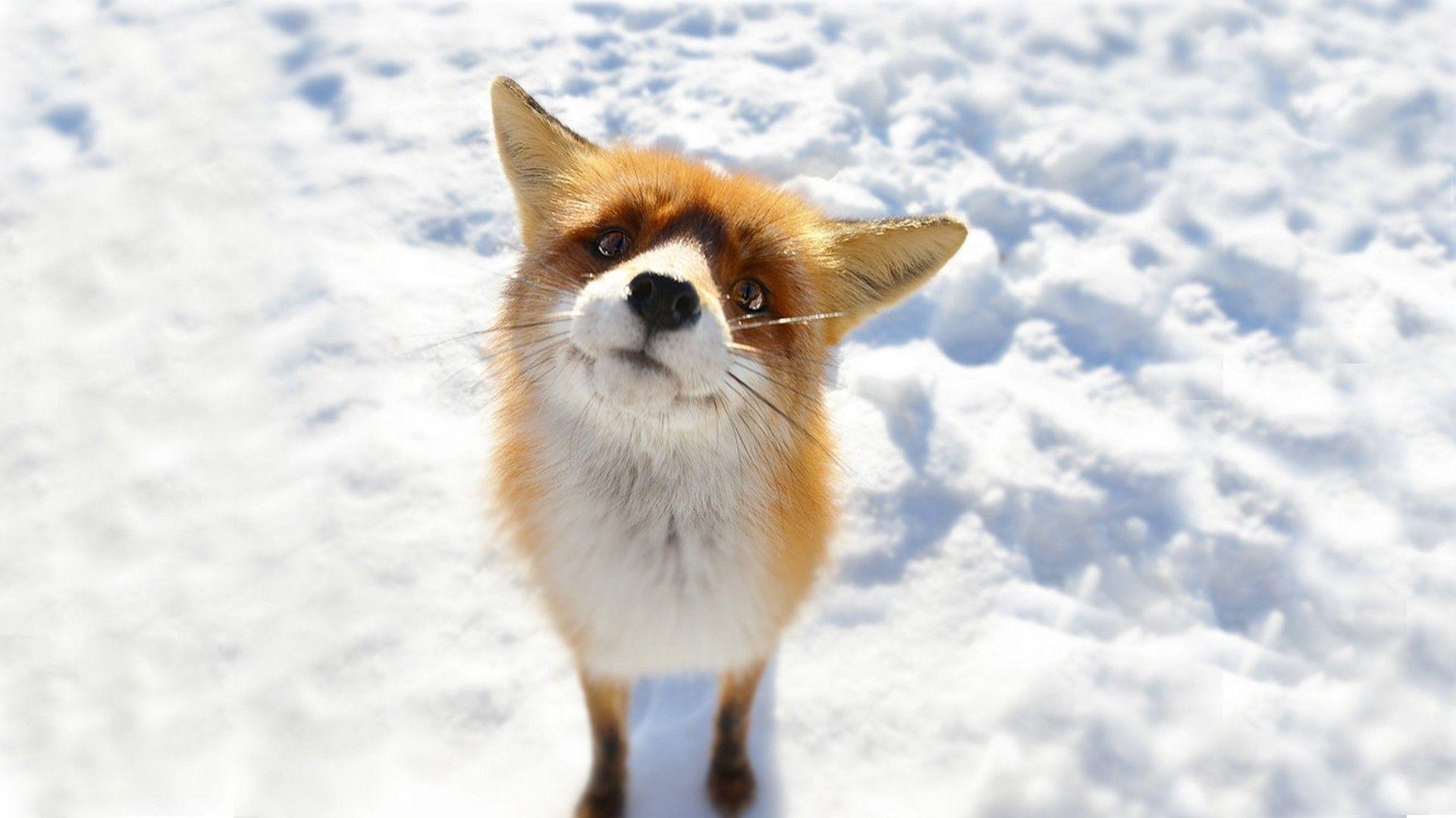 Free winter animal wallpaper – Animal Foxes Snow Winter. Download
