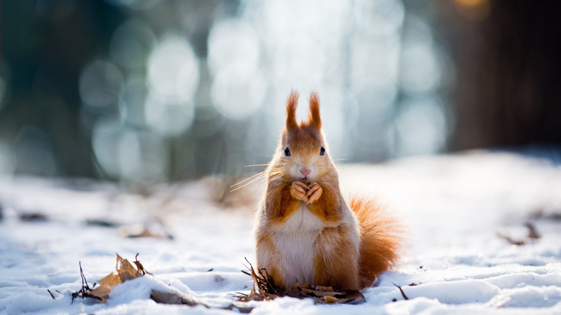 Lovely Tag – Laves Forest Bokeh Lovely Ice Nature White Wild Snow Red  Standing Squirrel Little