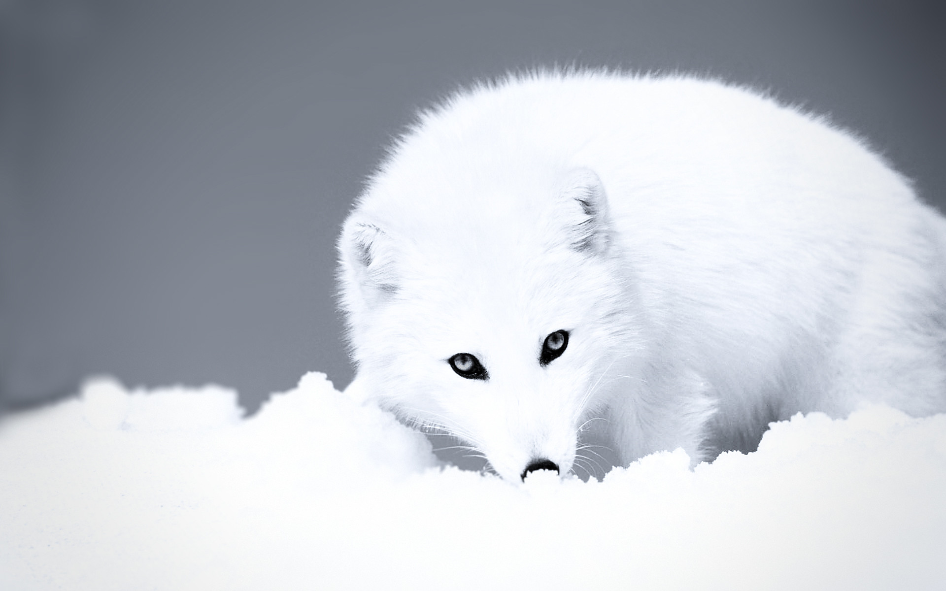 Surviving Winter In The Arctic: Animal Adaptations