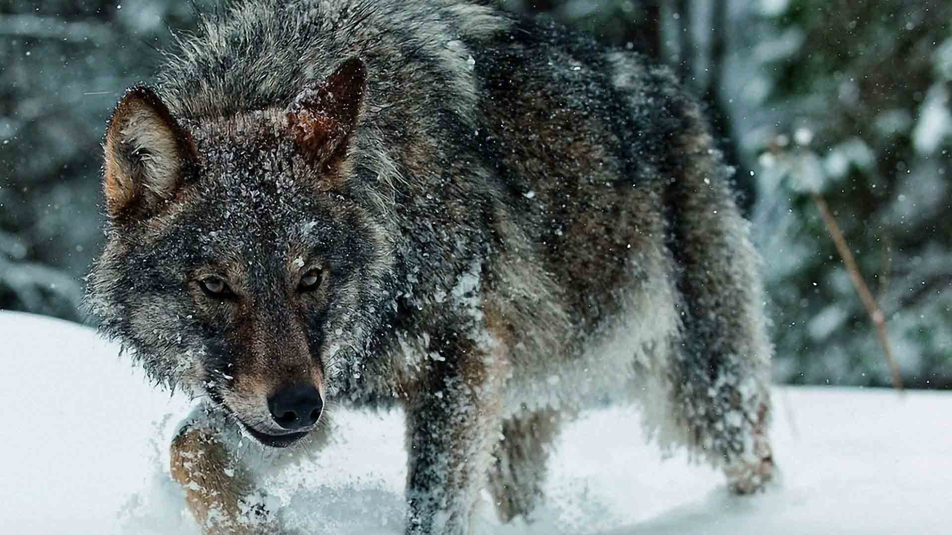 hunter spirit mythical wild animal black pack wolves wolf the white  beautiful timber lone canis lupus snow solitude friendship lobo canine grey  nature …