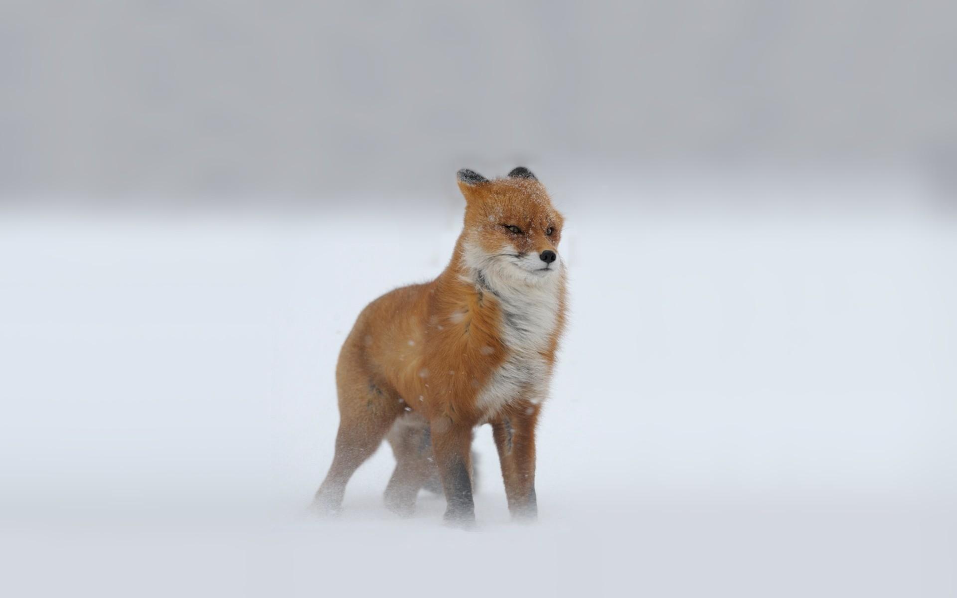 Freezing fox wallpaper · cute …