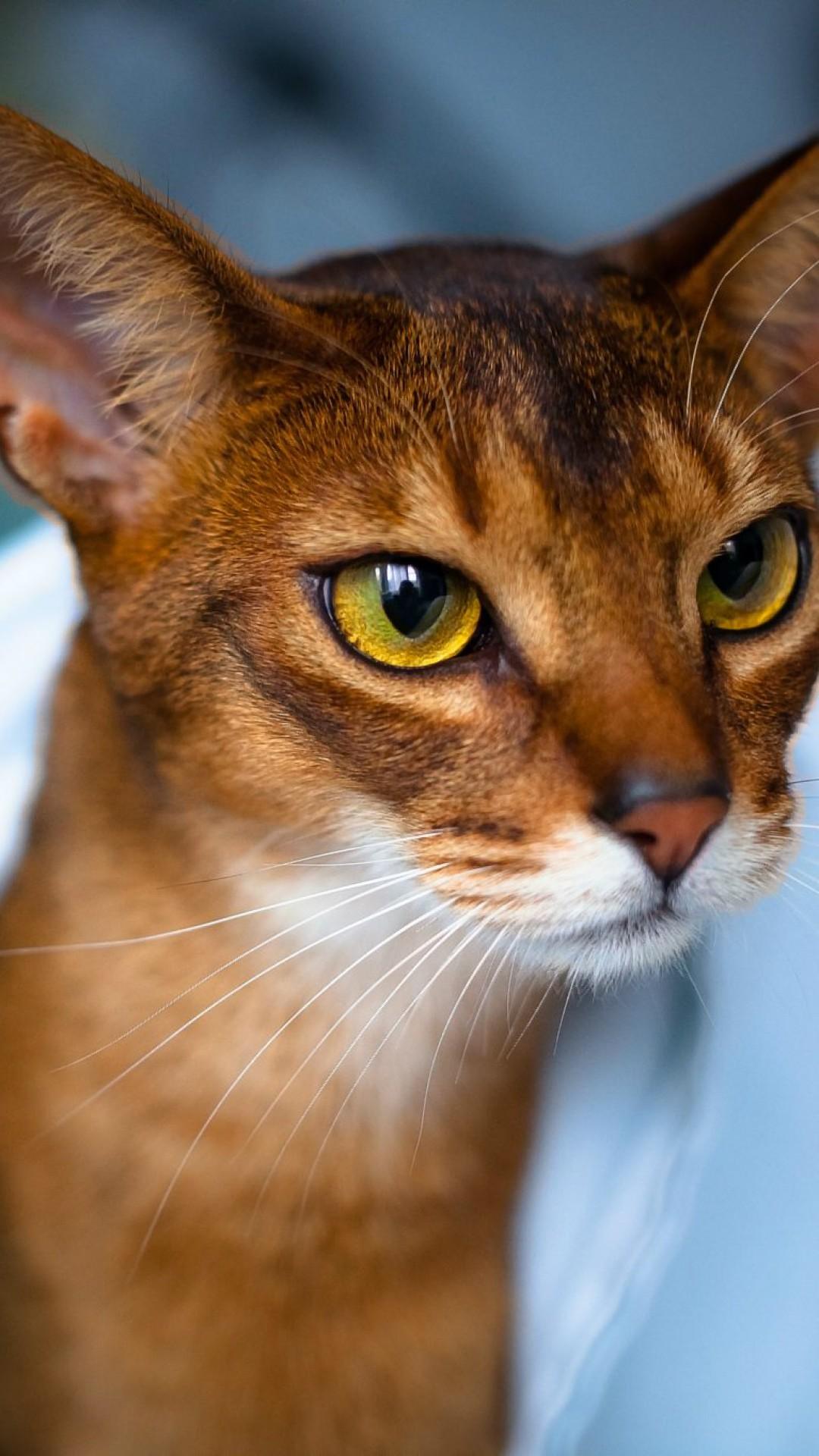 Wallpaper abyssinian cat, face, eyes, beautiful, cat