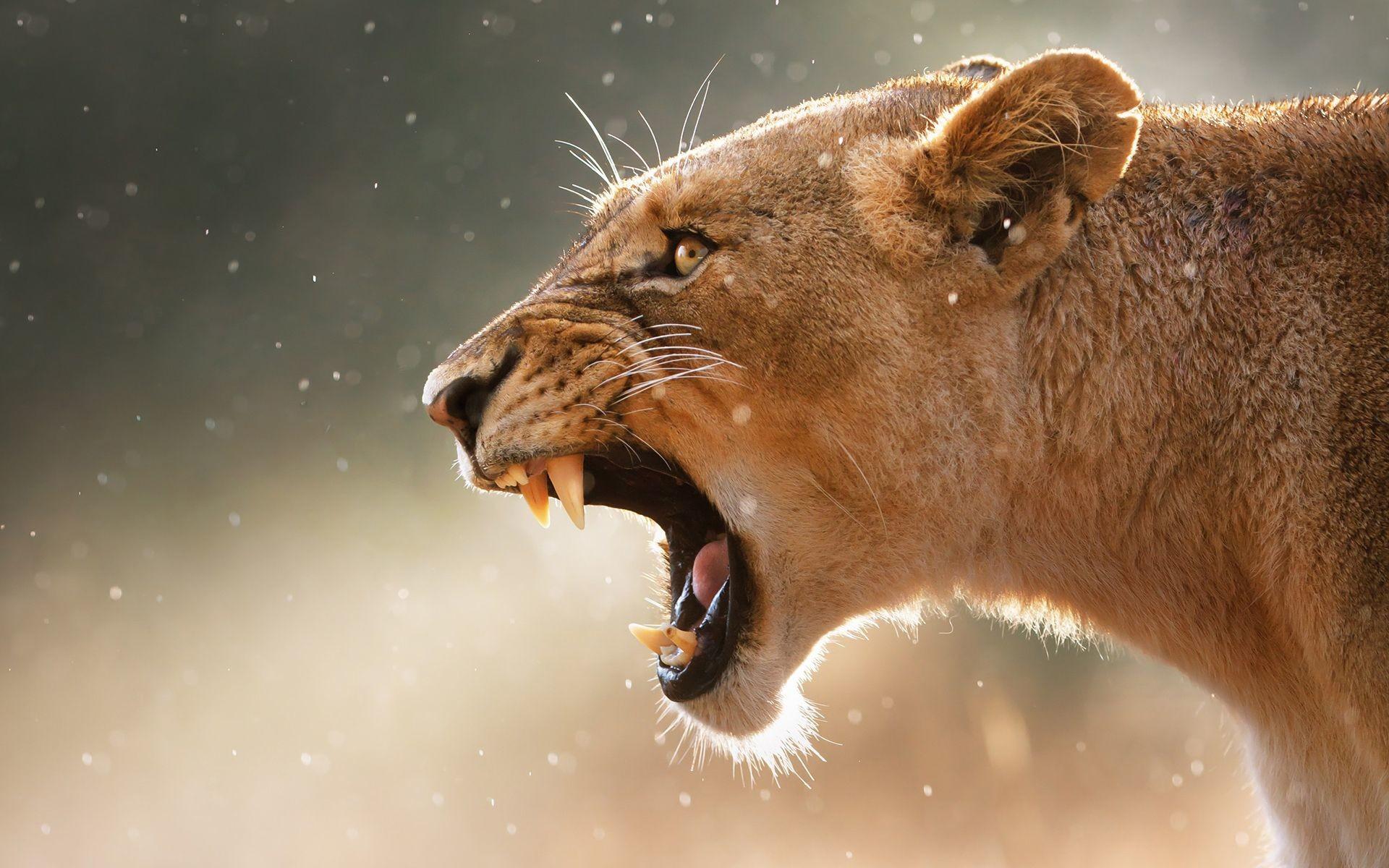 lion roar – Google Search   CATRITTERS   Pinterest   Hd wallpaper and Lions