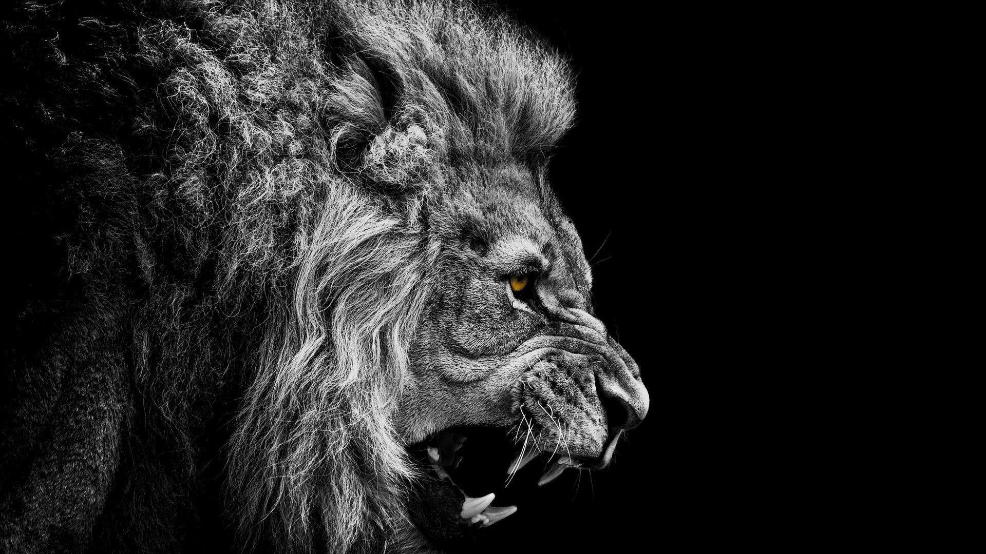 Lion Wallpaper #4 – Resolution:1920*1200