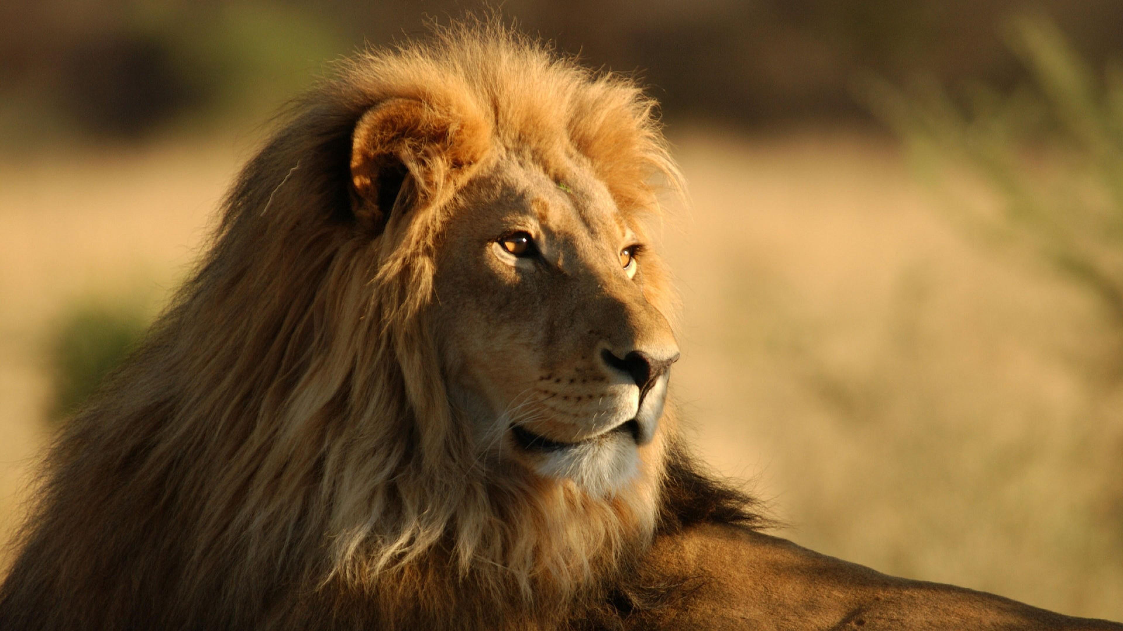 Preview wallpaper lion, face, mane, big cat, predator 3840×2160