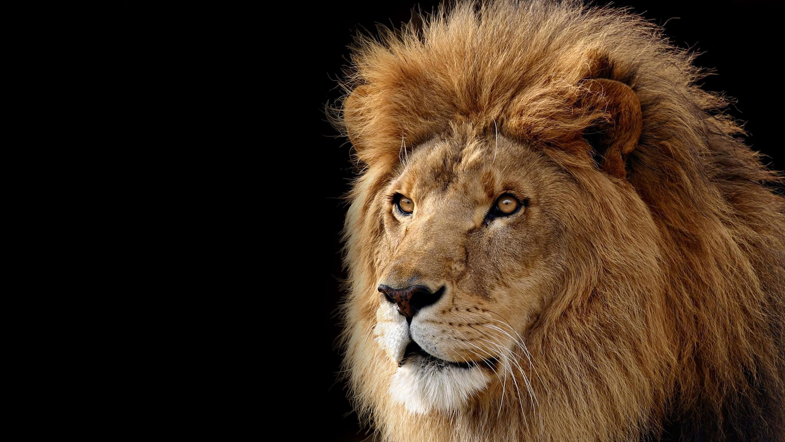 Lion Wallpapers 12637