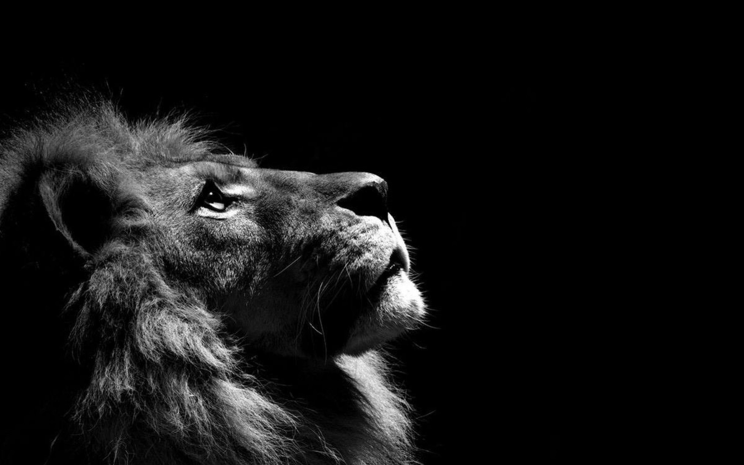 Truly Magnificent White Lion Wallpapers to Spice Up your White Lion Images Wallpapers  Wallpapers)