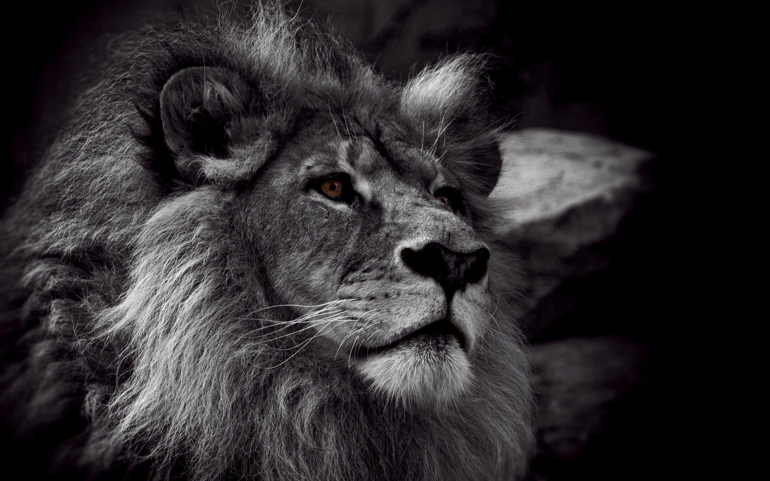 Angry Roaring Lion Hd