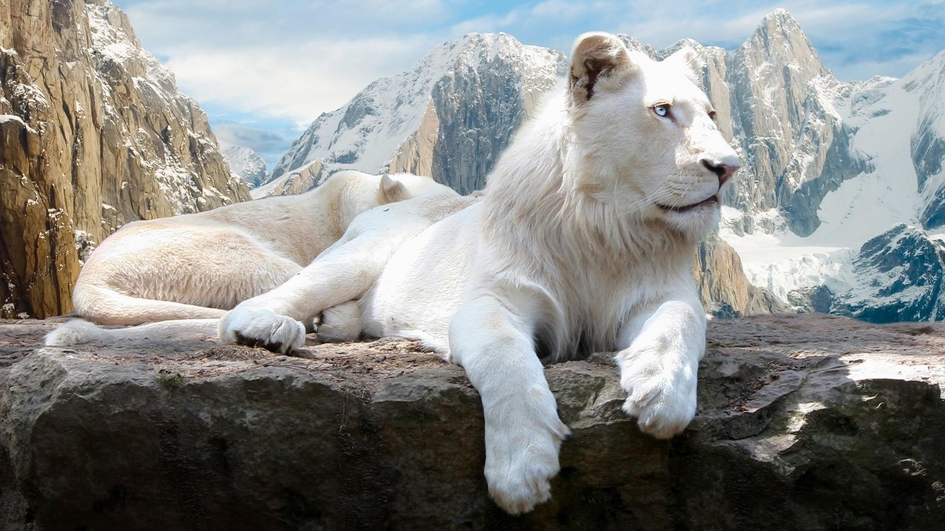 White Lions Roaring – wallpaper.