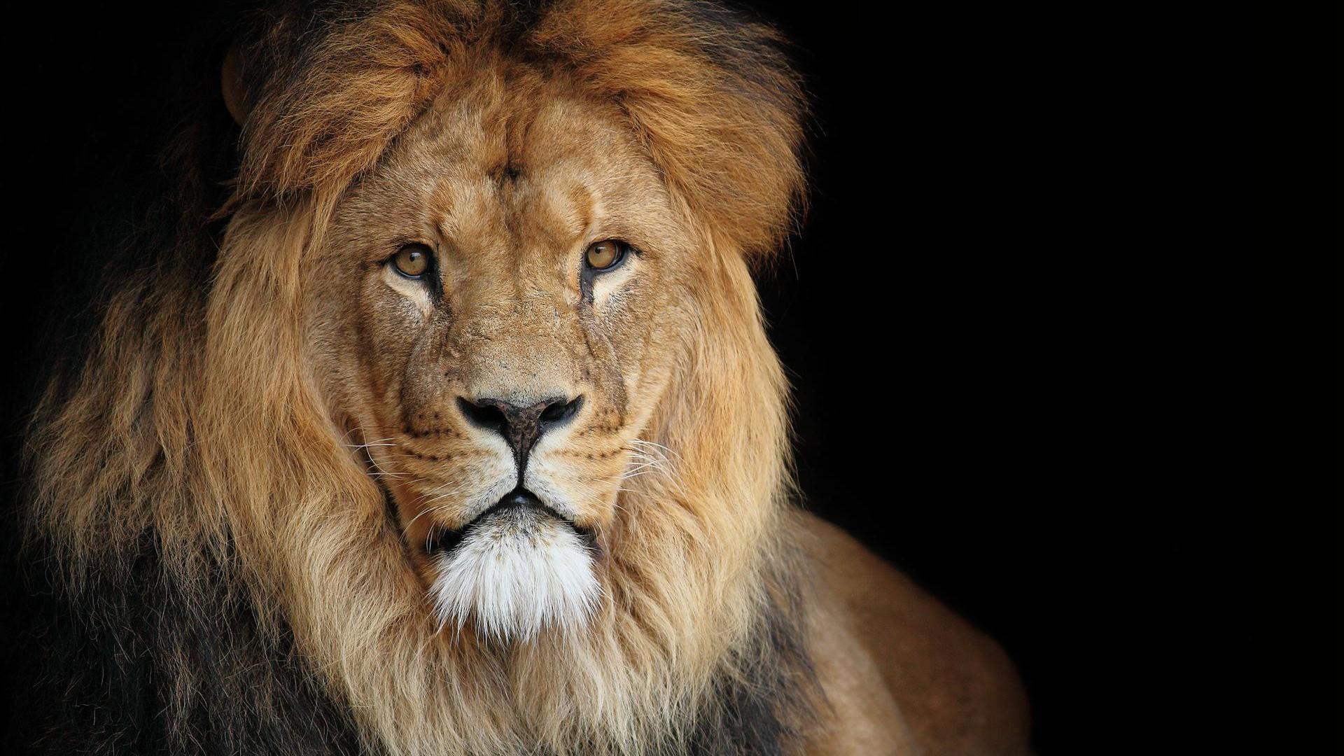 African Lion Roaring Wallpaper