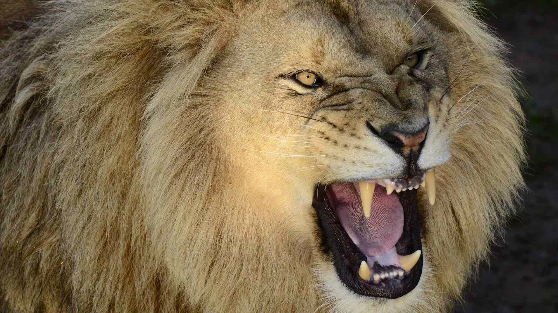 pictures of a roaring lion wallpaper