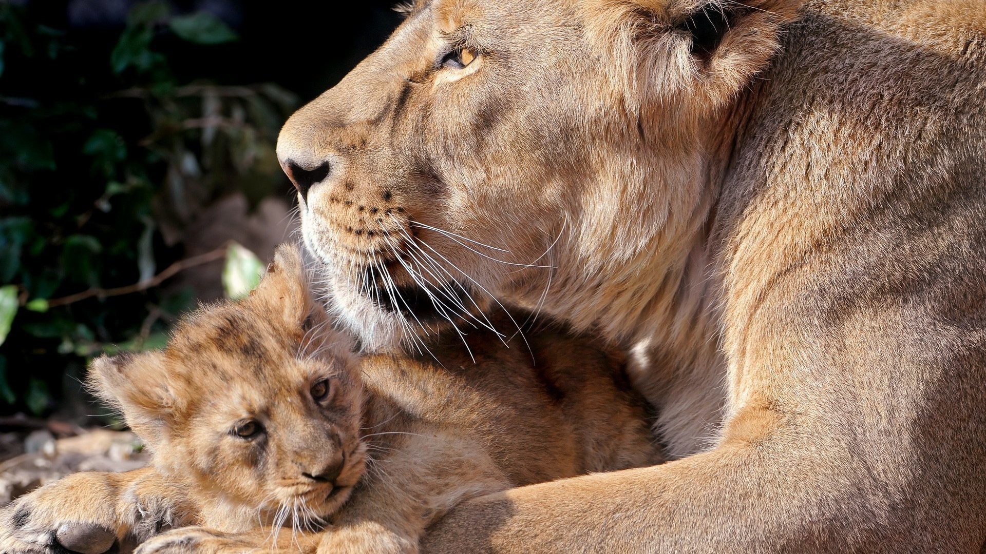 Lions Tigers Animals Cool Cat Wallpapers – 1920×1200