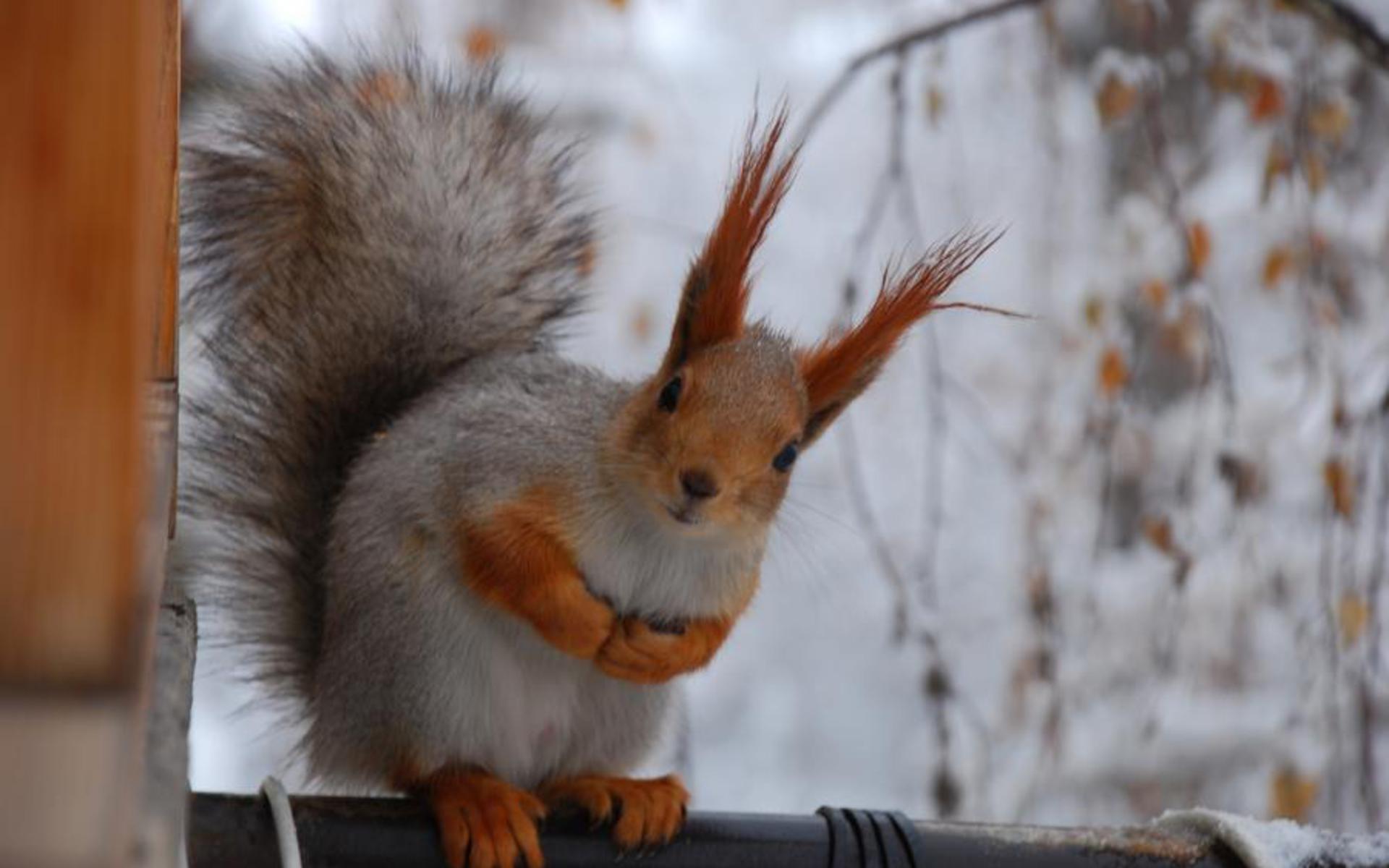 winter, background, apple, wallpaper, squirrel, animals,