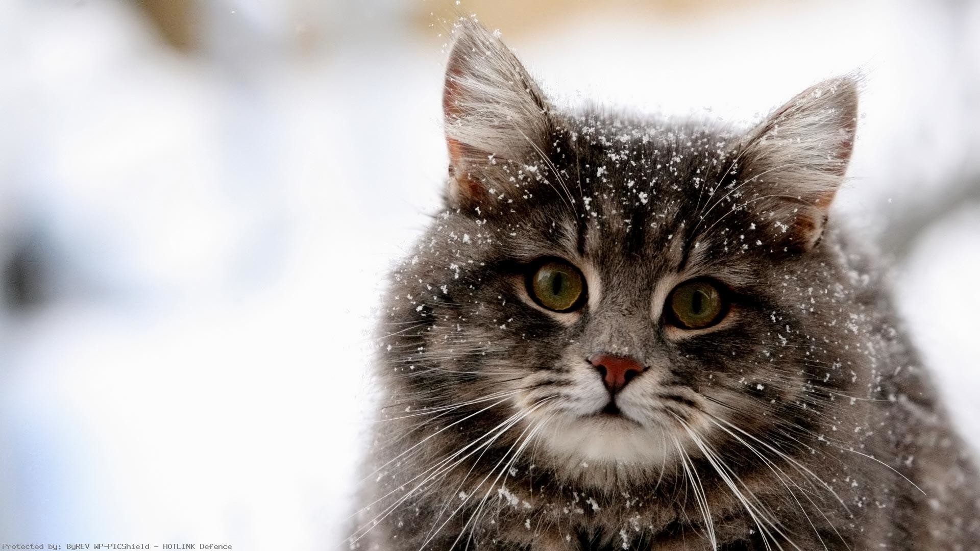 Winter-Animal-Desktop-wallpaper-wp60014060