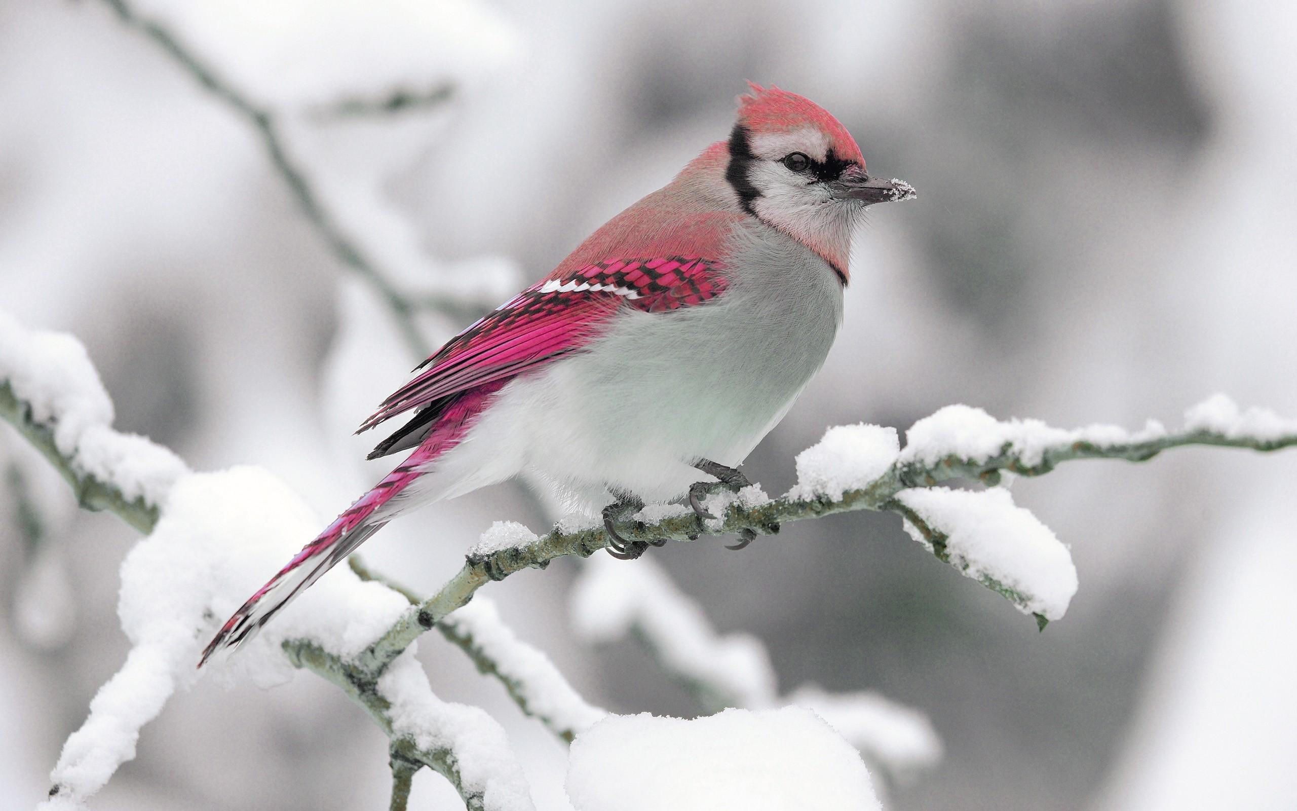 Snow Bird Animal Wallpaper Background Wallpaper with .