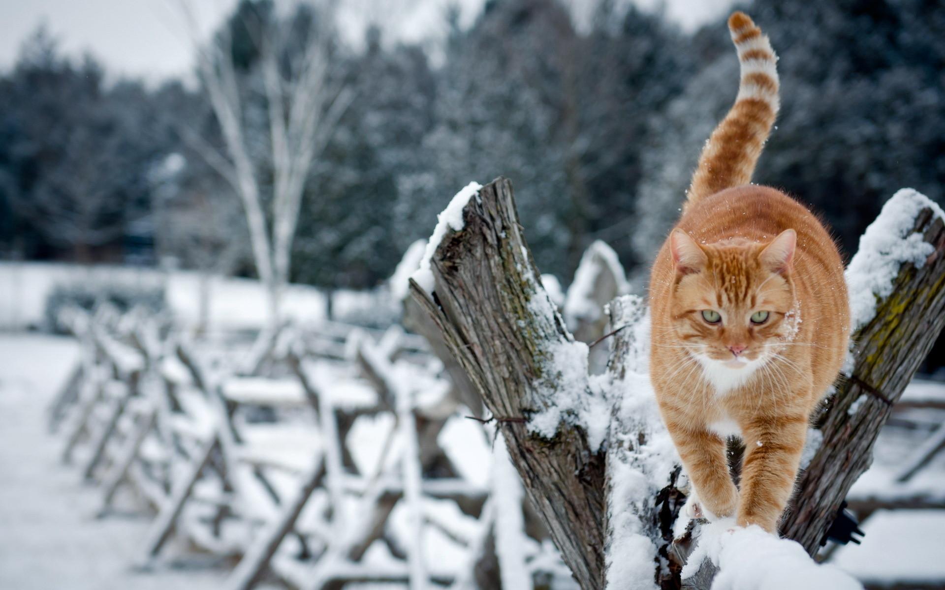 Winter Cat Desktop Background. Download …