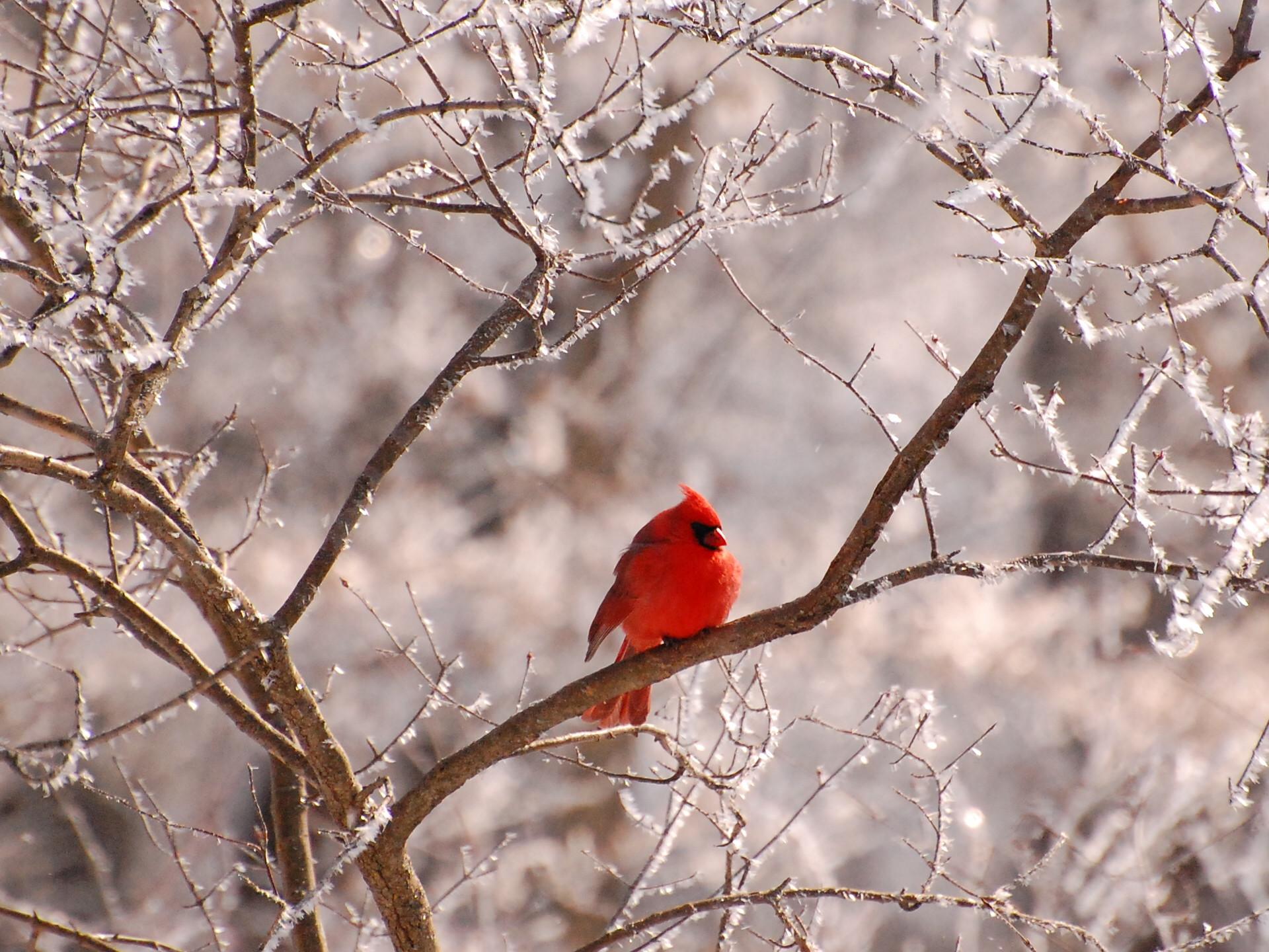 Cardinal Wallpaper Winter – WallpaperSafari
