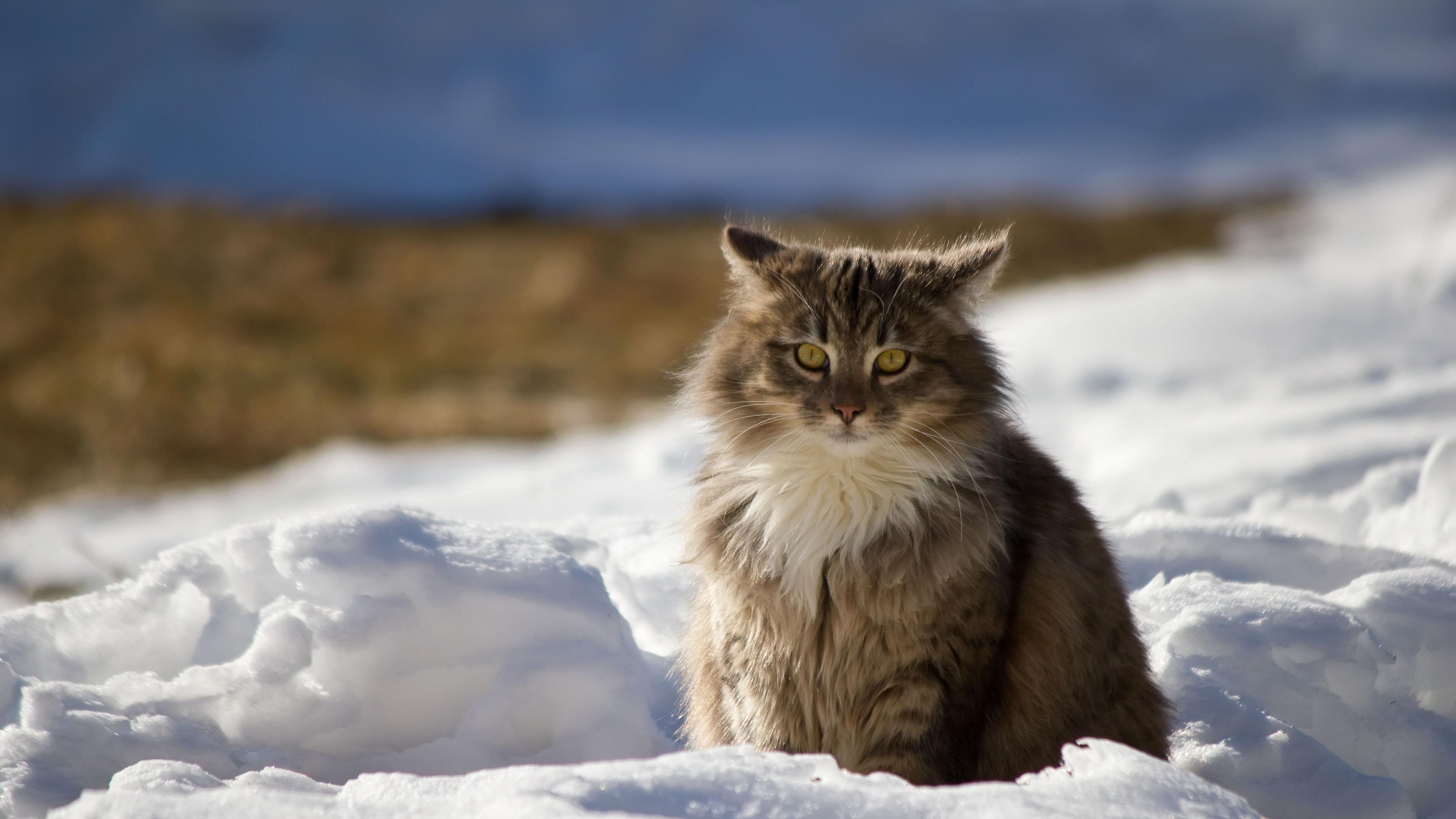 Preview wallpaper cat, winter, fluffy, snow 3840×2160