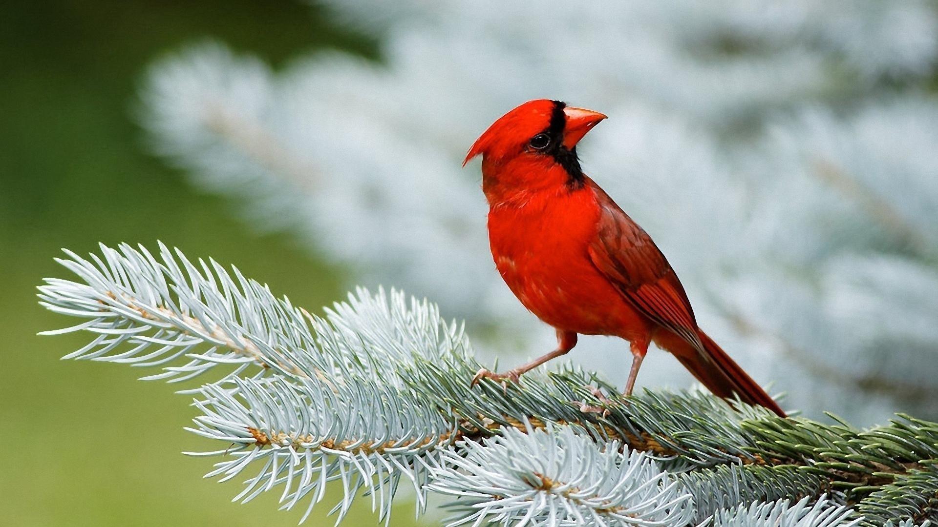 Red Cardinal Birds – 1080p HD Wallpaper 1920×1080