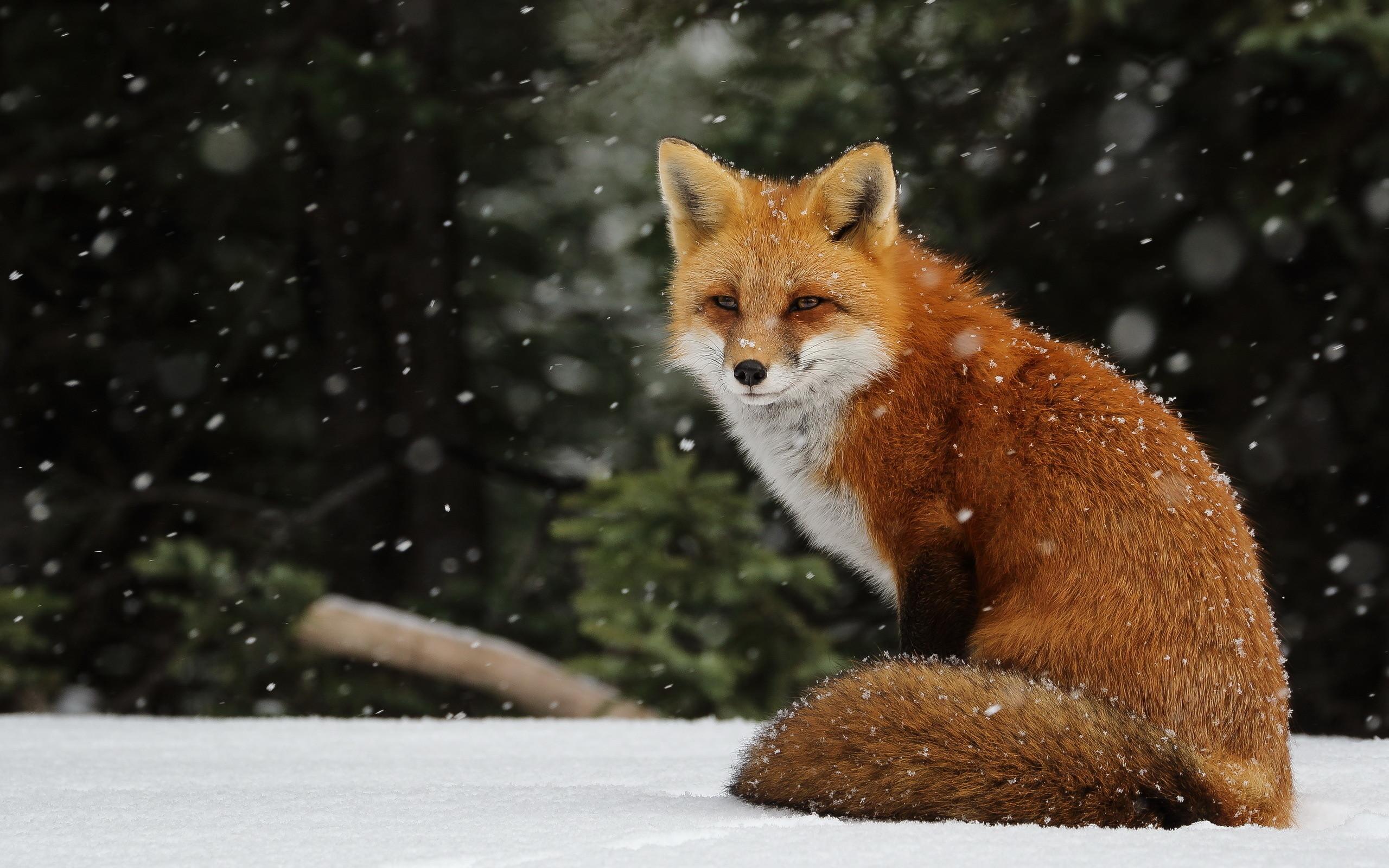 Fox Wallpapers For Desktop