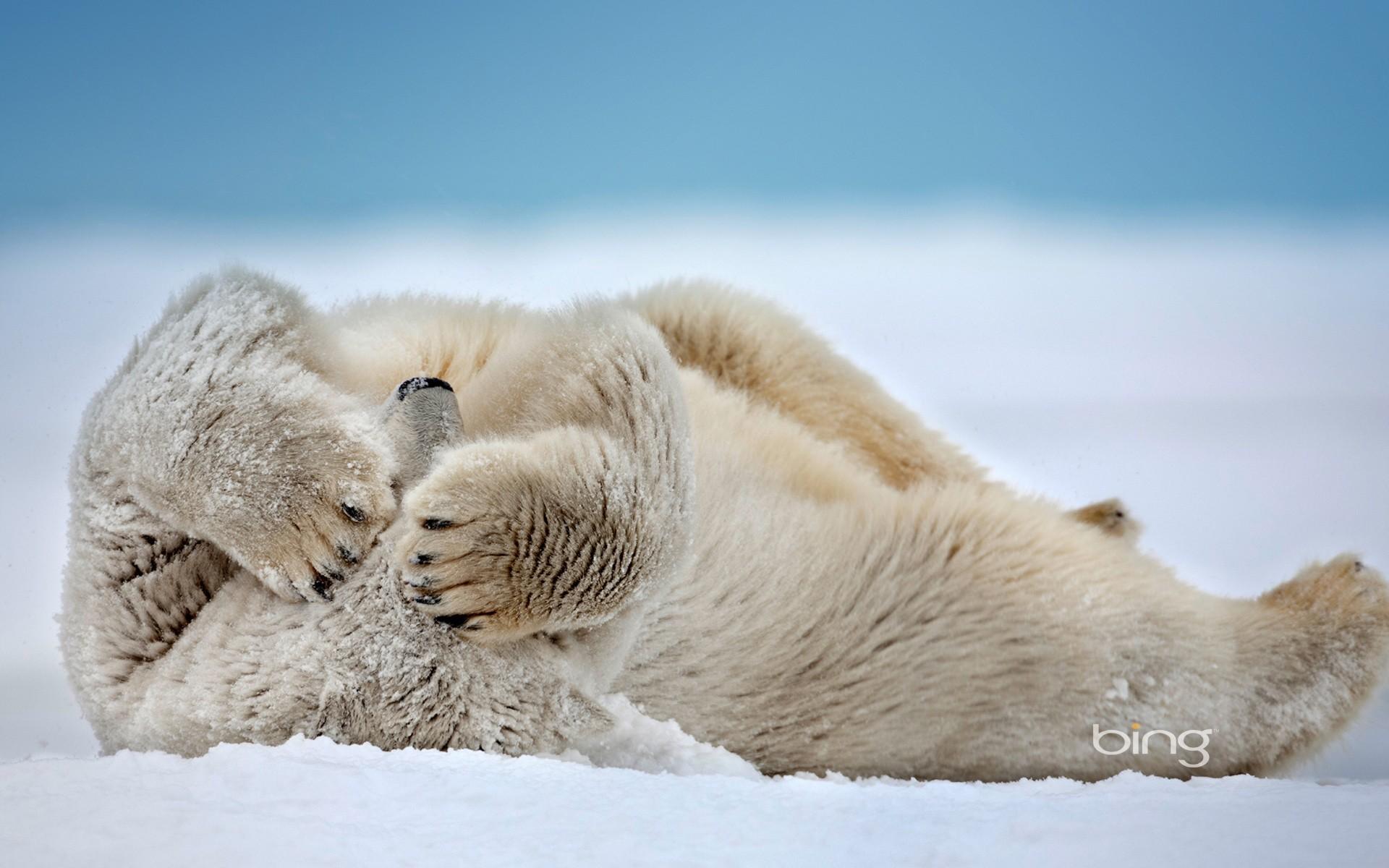 Wallpaper polar bear bear snow winter desktop wallpaper
