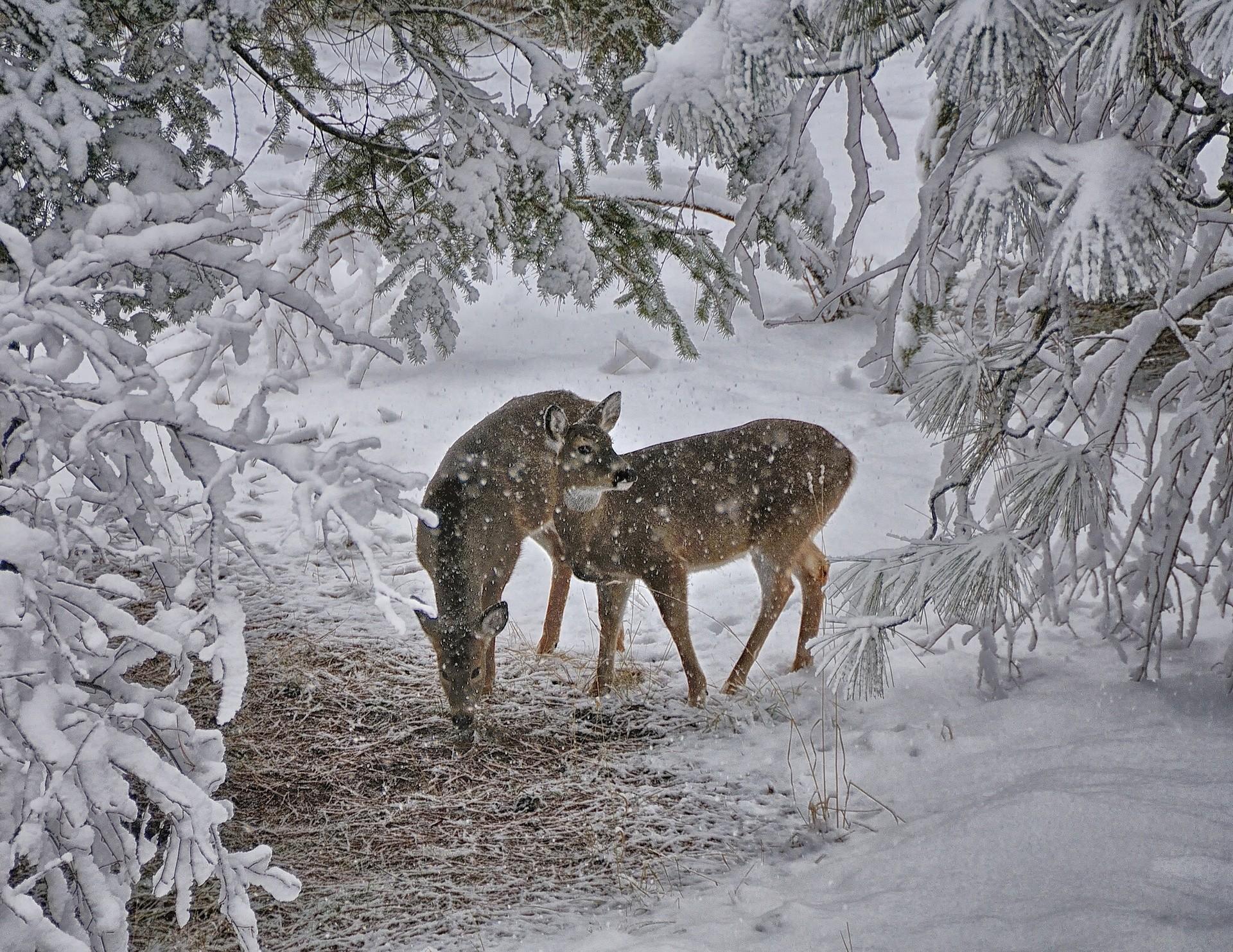 Photo Deer Winter Snow Branches Animals 1920×1482