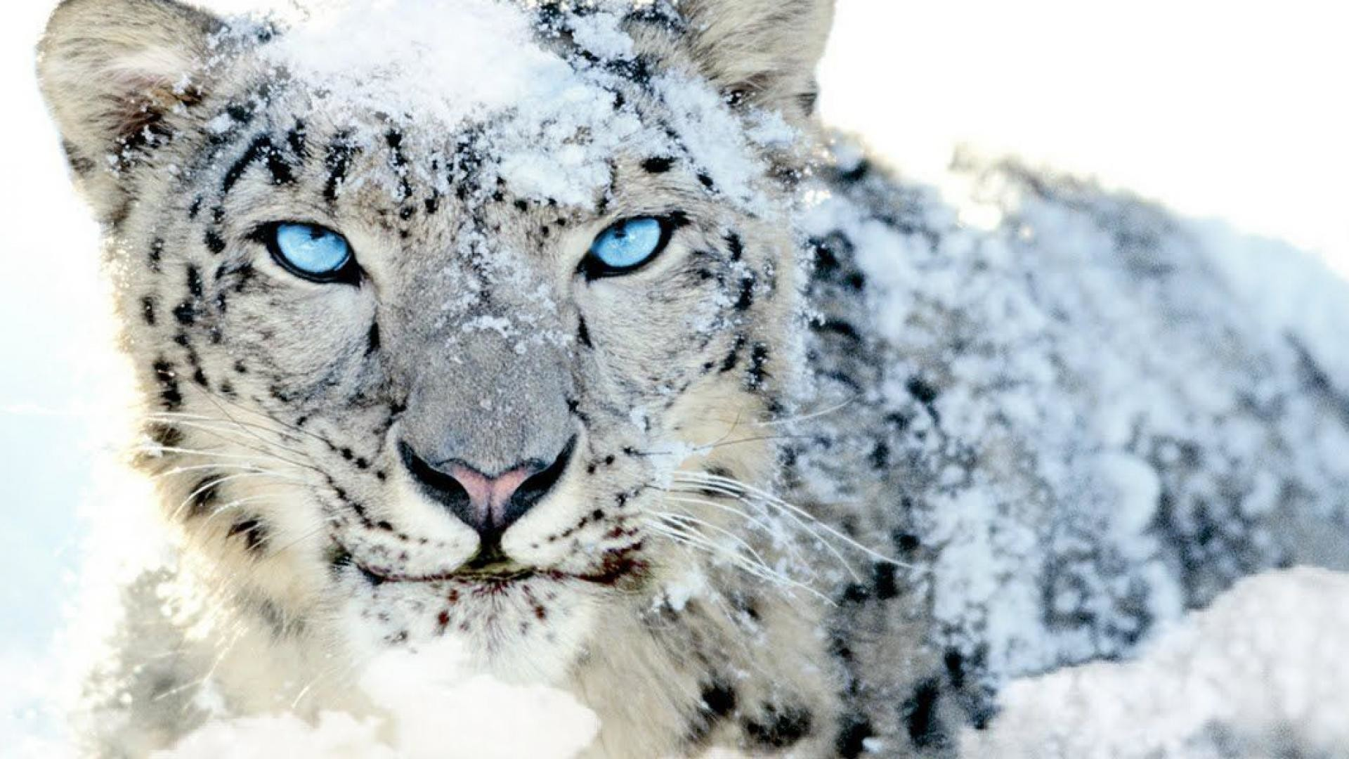 Animals for Gt Snow Leopard Wallpaper