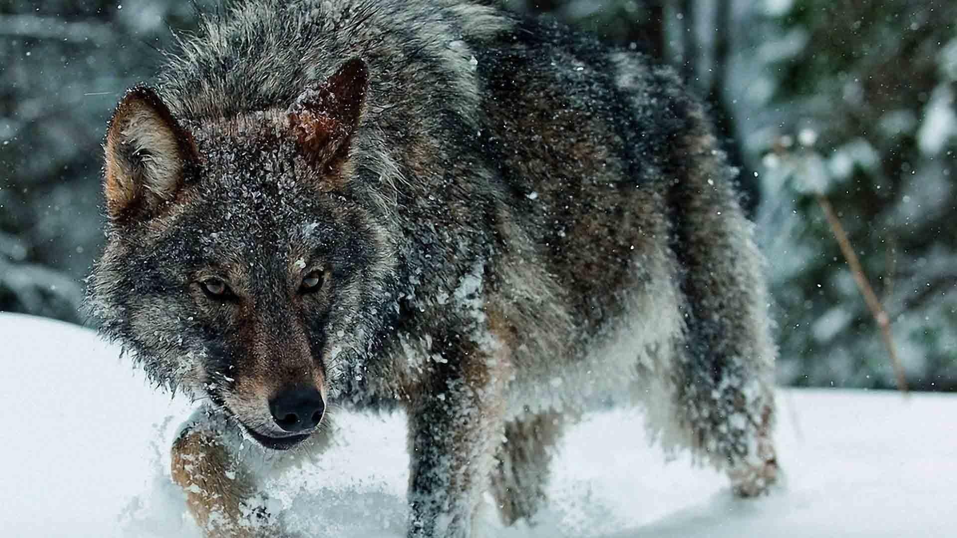 Full HD p Wolf Wallpapers HD, Desktop Backgrounds 1920×1080 Wolf Wallpaper  (39
