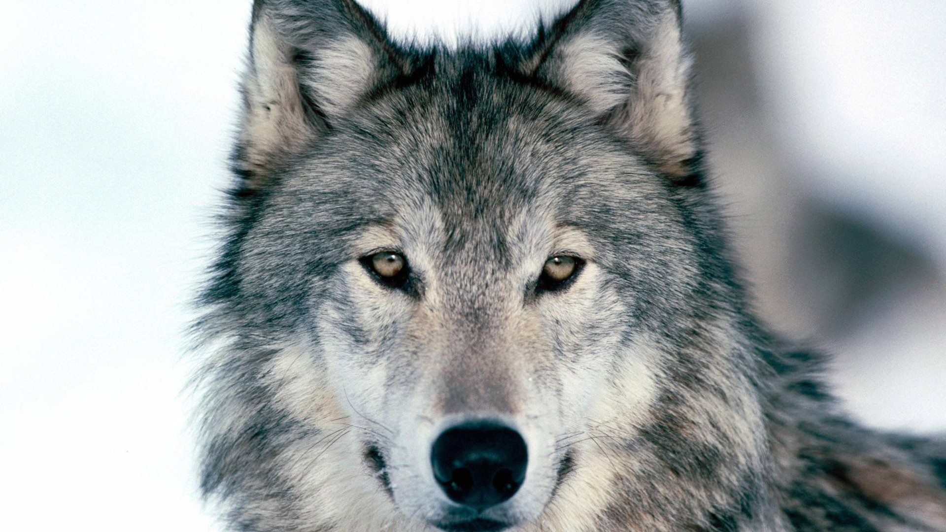Preview wallpaper wolf, winter, snow, face, eyes, predator 1920×1080