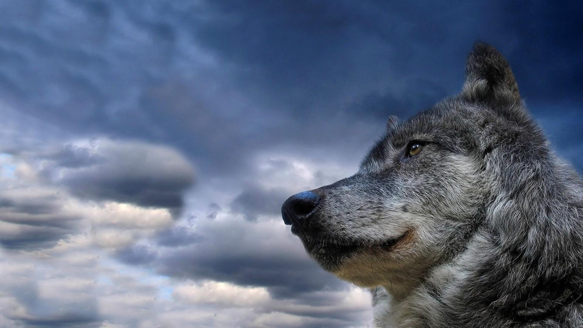 wolf, muzzle, dog