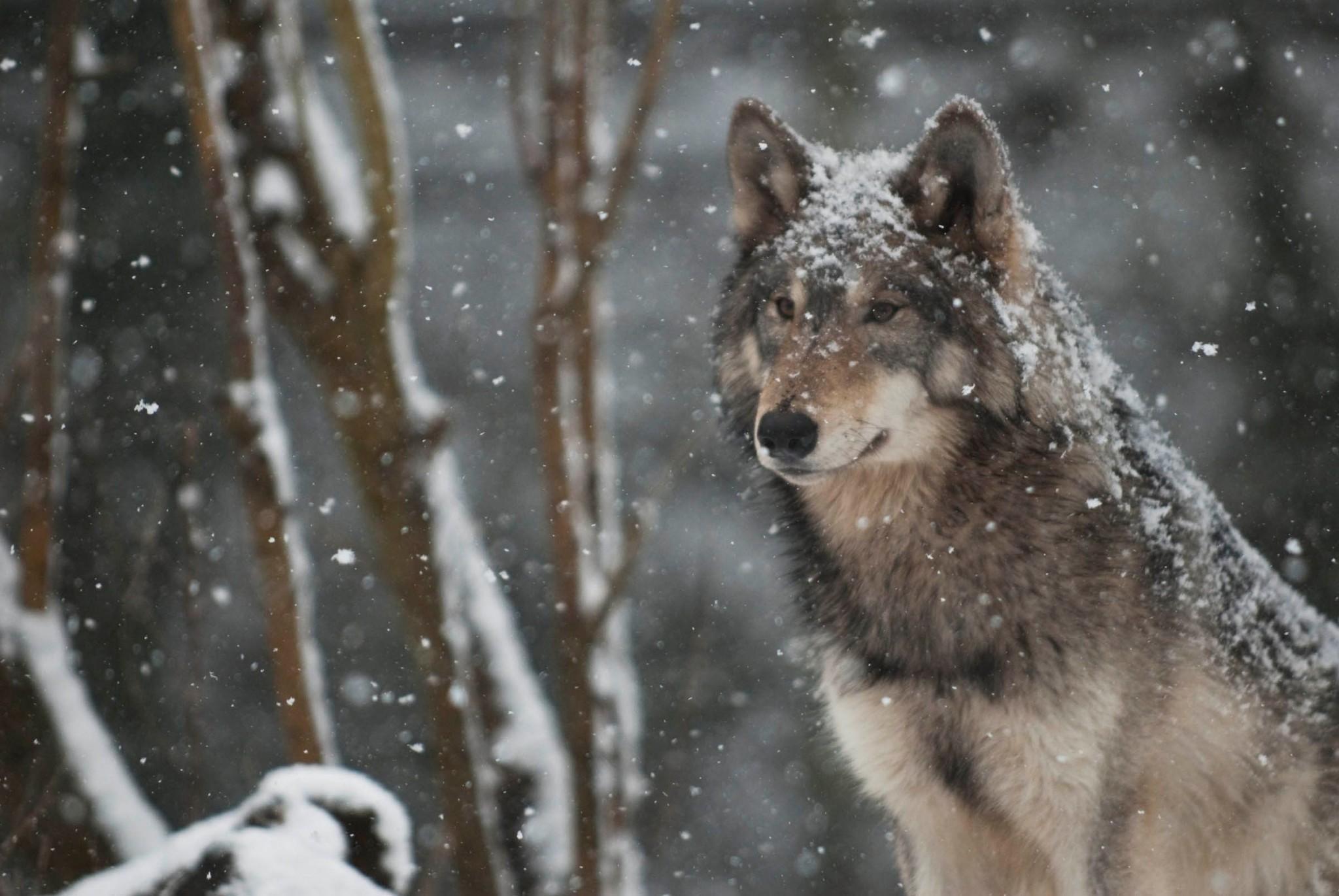 wolf wallpaper pack 1080p hd