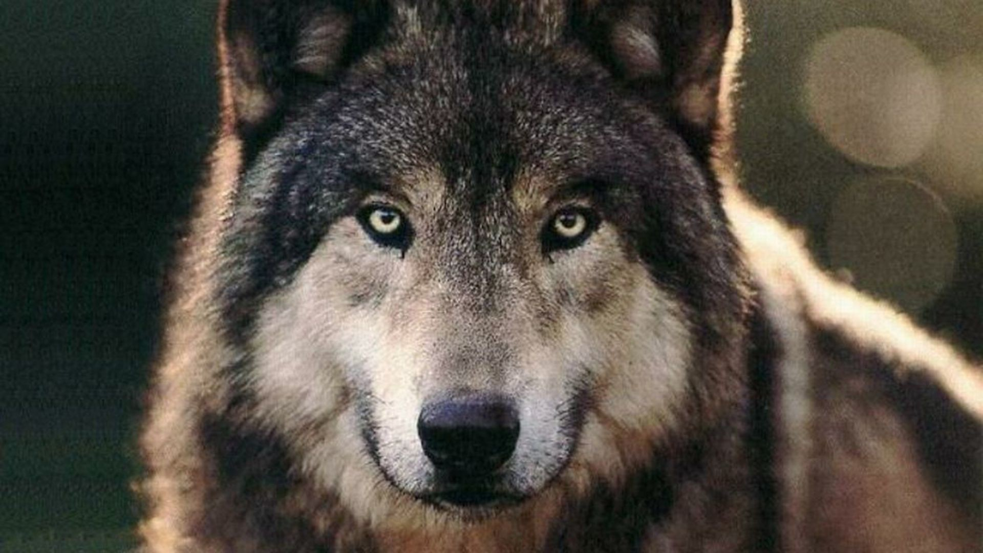 Wolf Wallpaper Wolf
