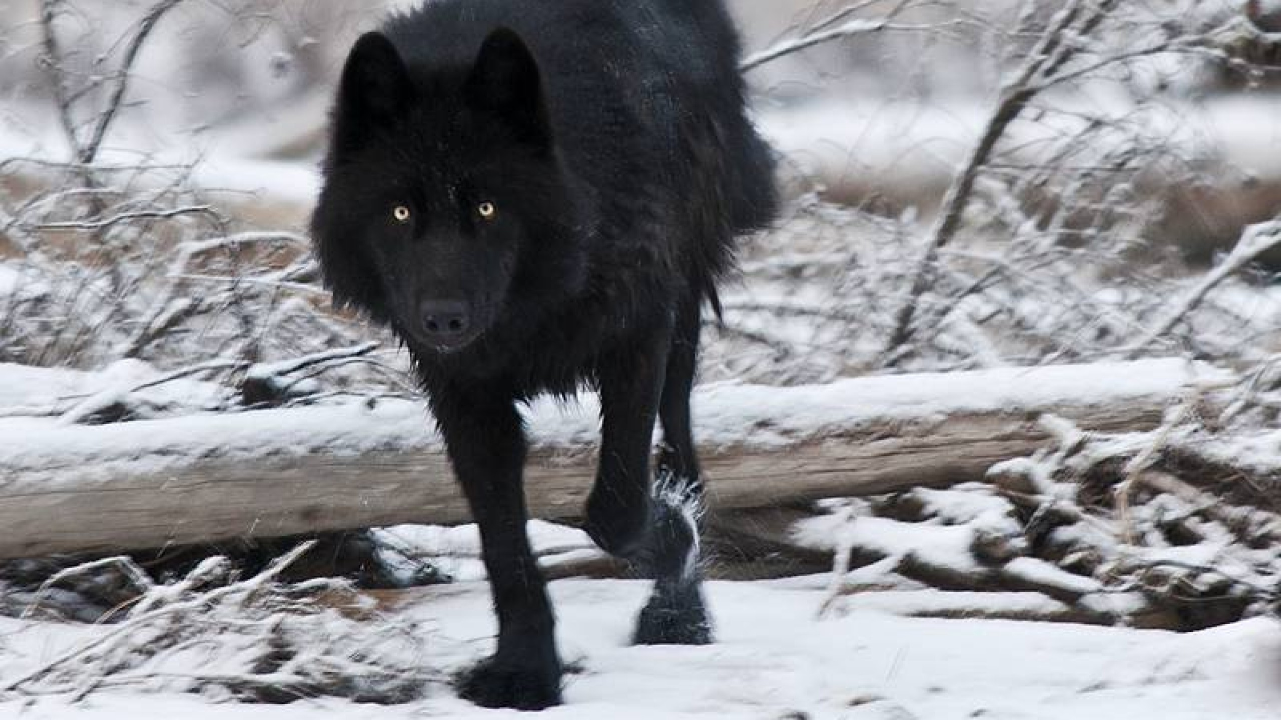 Black Wolf HD Wallpapers 1080p | WallpapersCharlie