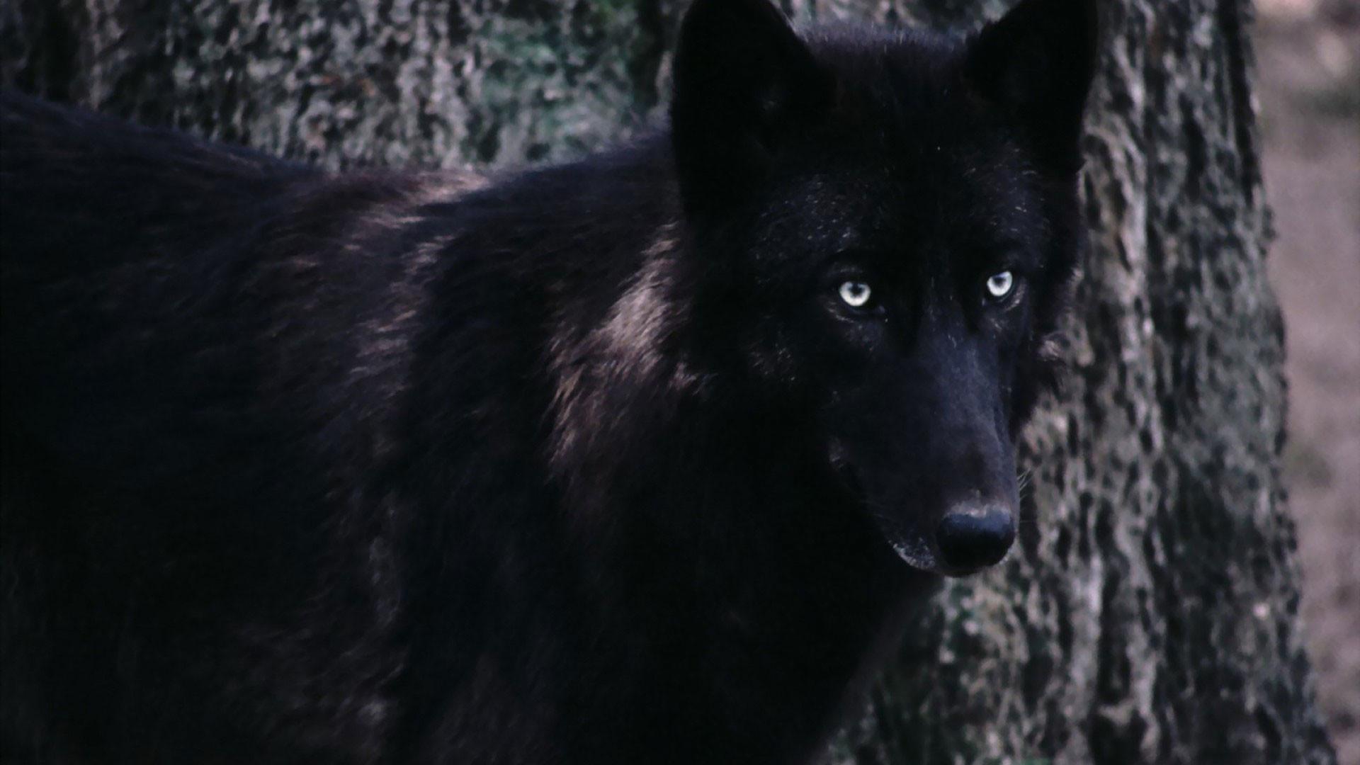 hd pics photos black wild wolf animals hd quality desktop background  wallpaper