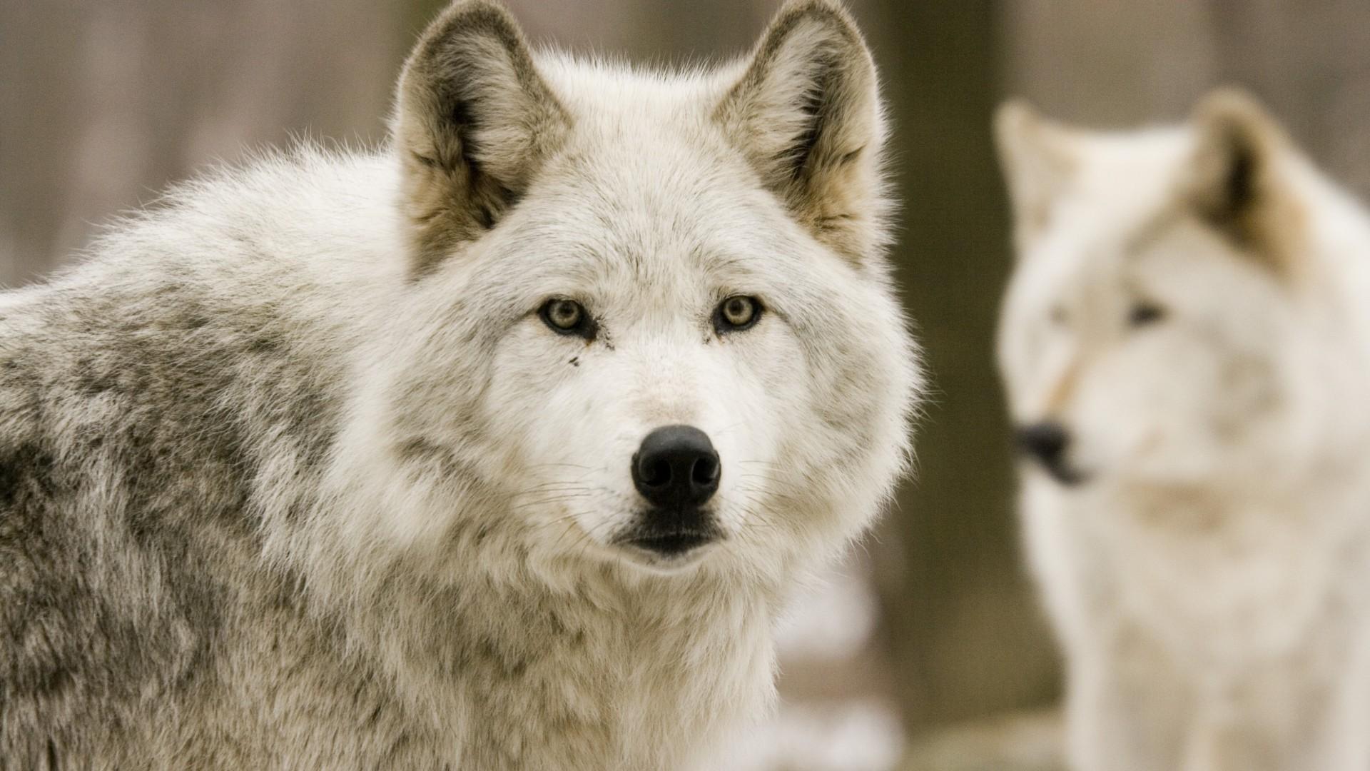 wolves, predators, forest