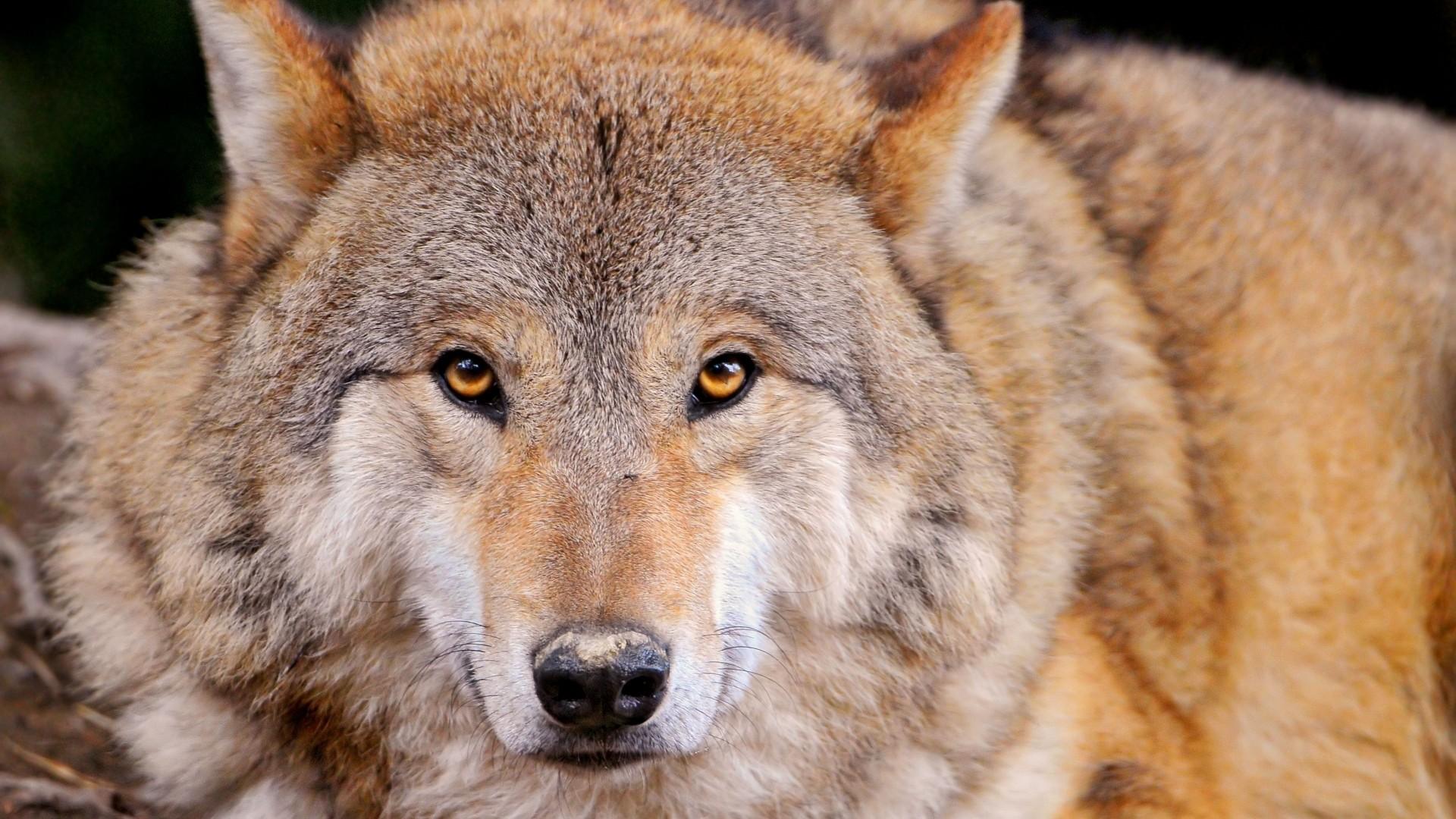 … Background Full HD 1080p. Wallpaper wolf, predator, lie,  muzzle, family dog