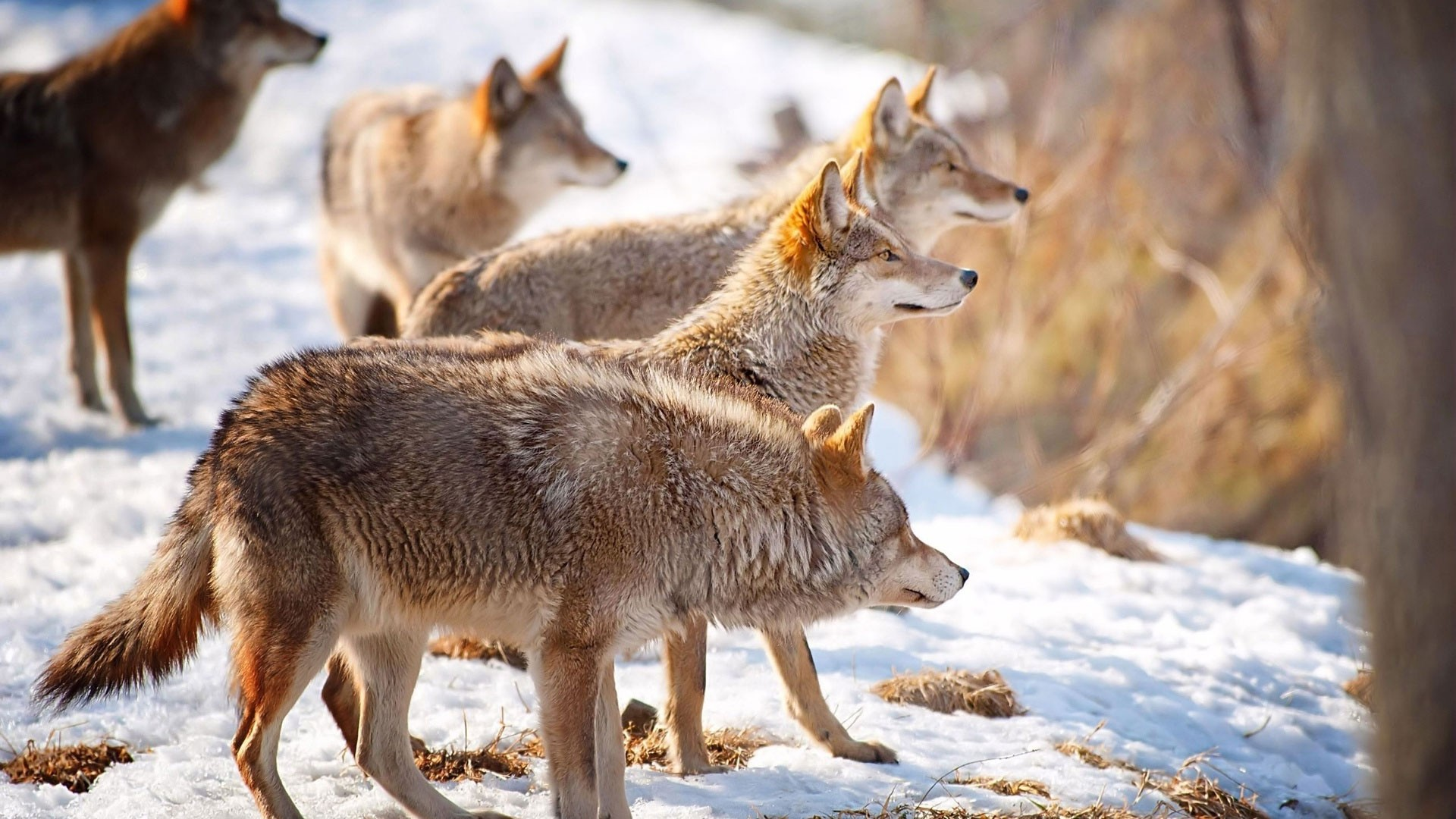 … Background Full HD 1080p. Wallpaper wolves, snow, flock,  winter, hunting