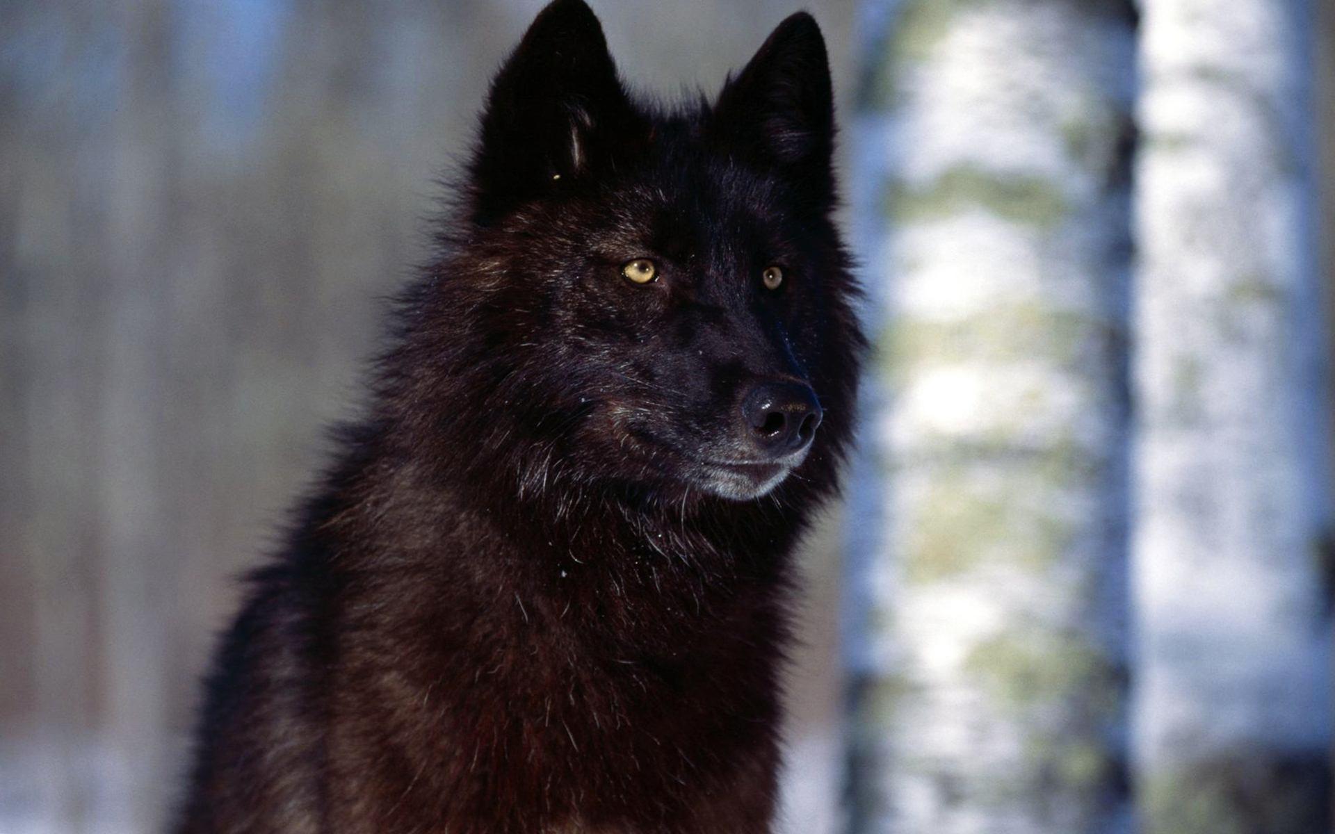 Black Wolf Wallpaper High Definition