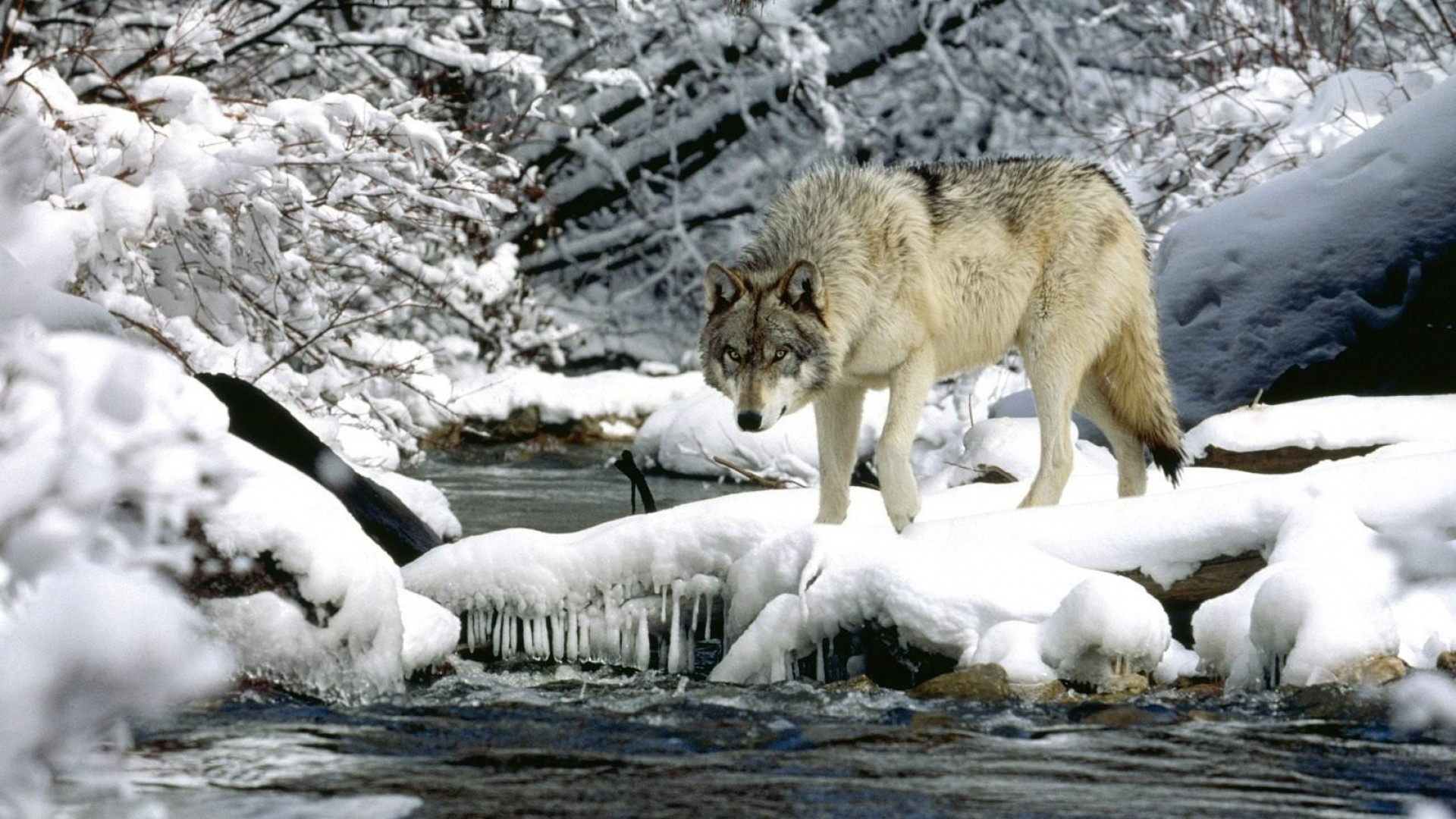 … Background Full HD 1080p. Wallpaper water, river, snow,  spring, wolf