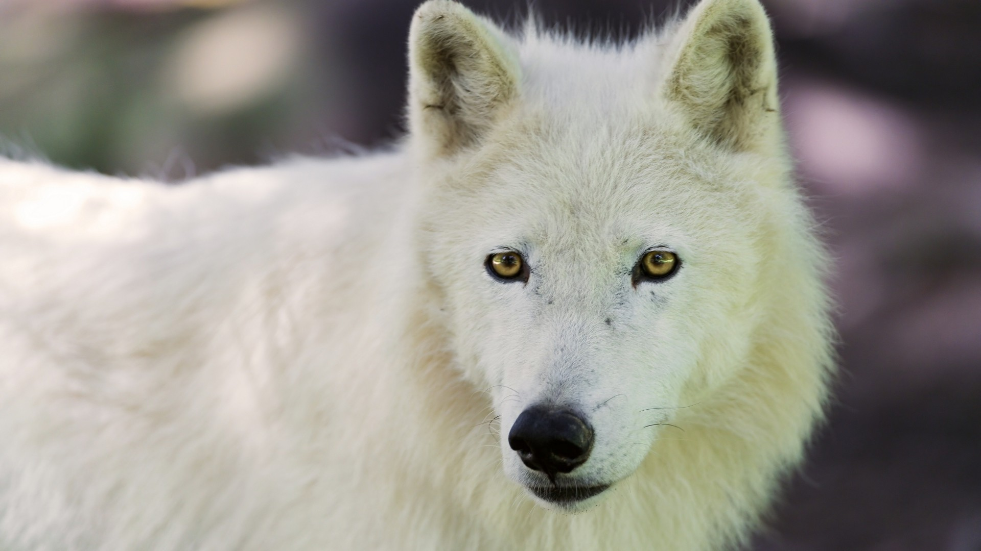 Preview wallpaper arctic wolf, dog, muzzle 1920×1080