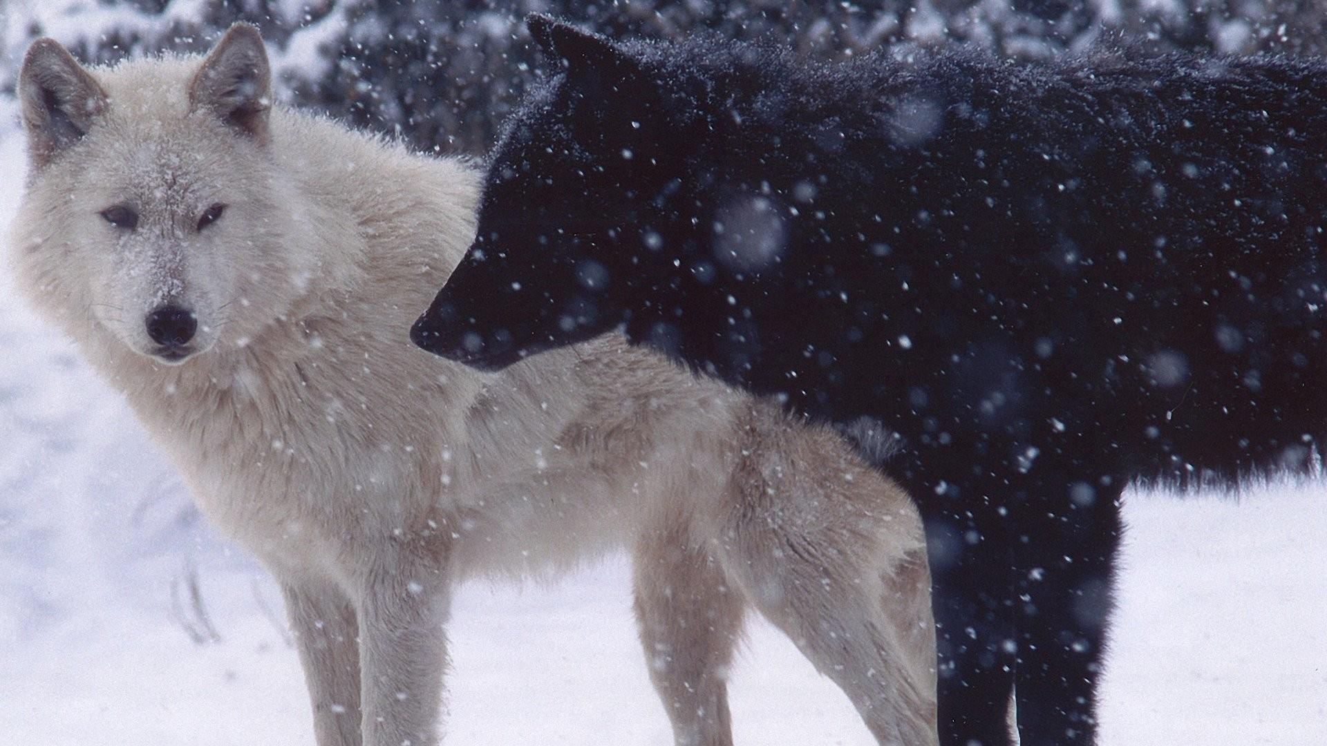 … Background Full HD 1080p. Wallpaper wolves, pair, predator,  snow, dogs