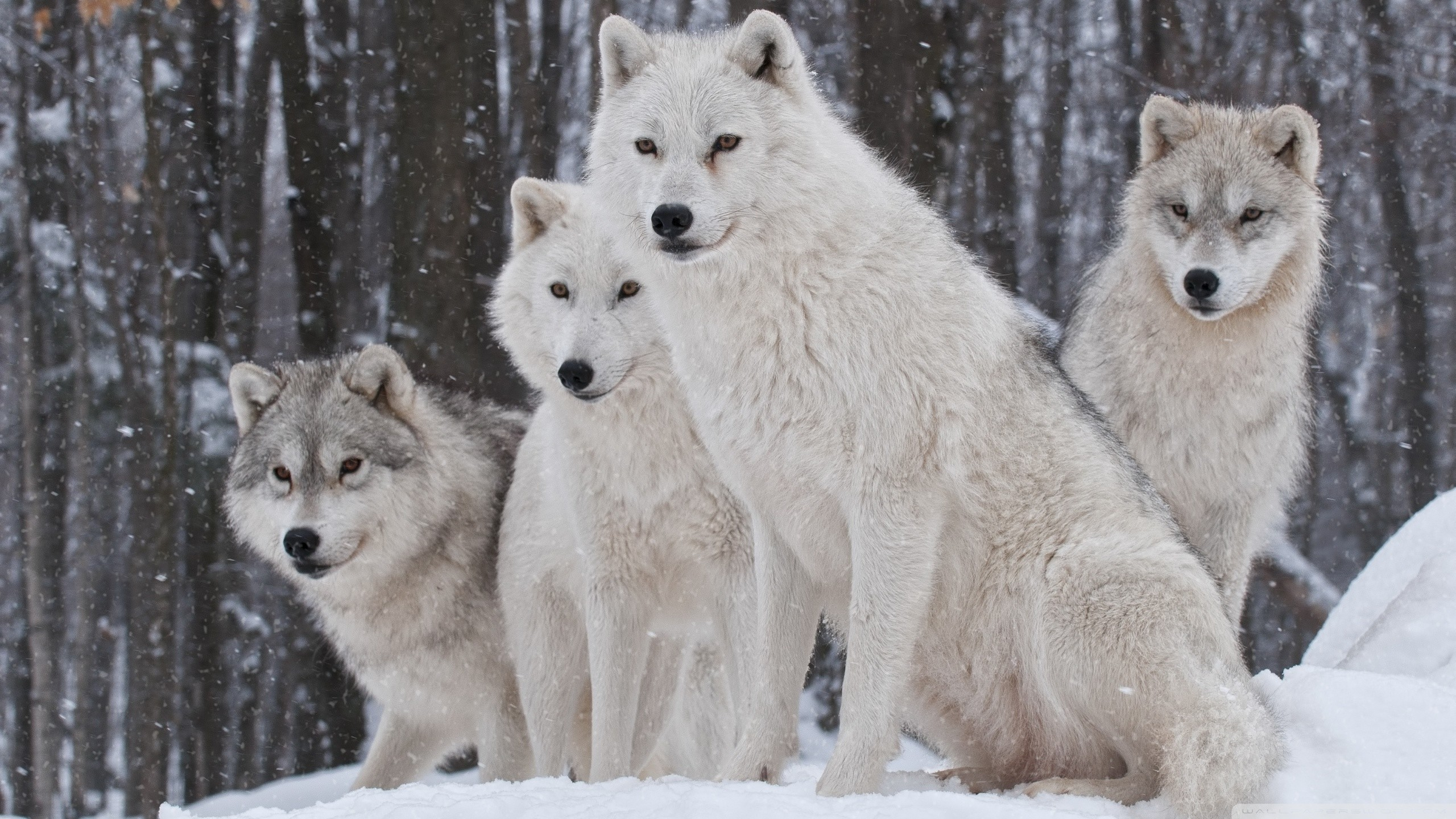Wolf HD Wallpapers Backgrounds Wallpaper | HD Wallpapers | Pinterest | Wolf  wallpaper, Wallpaper and Wallpapers android