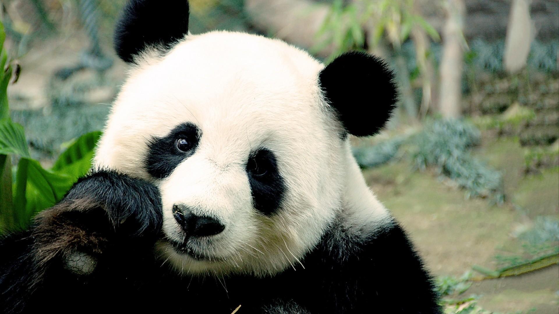 5. panda-wallpaper-hd-HD7-1-600×338