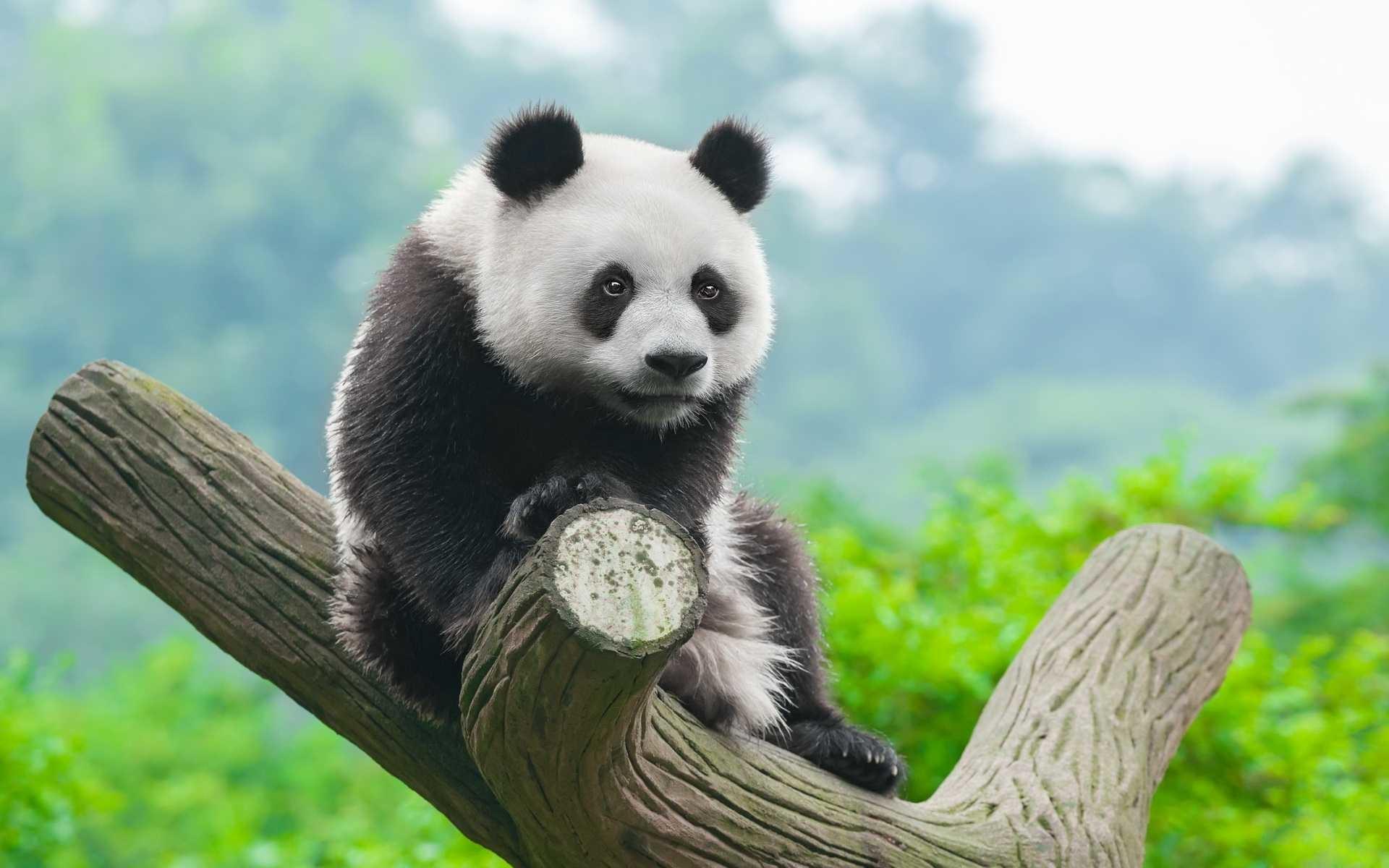<b>Panda Anime</b> HD PC <b>Wallpapers<