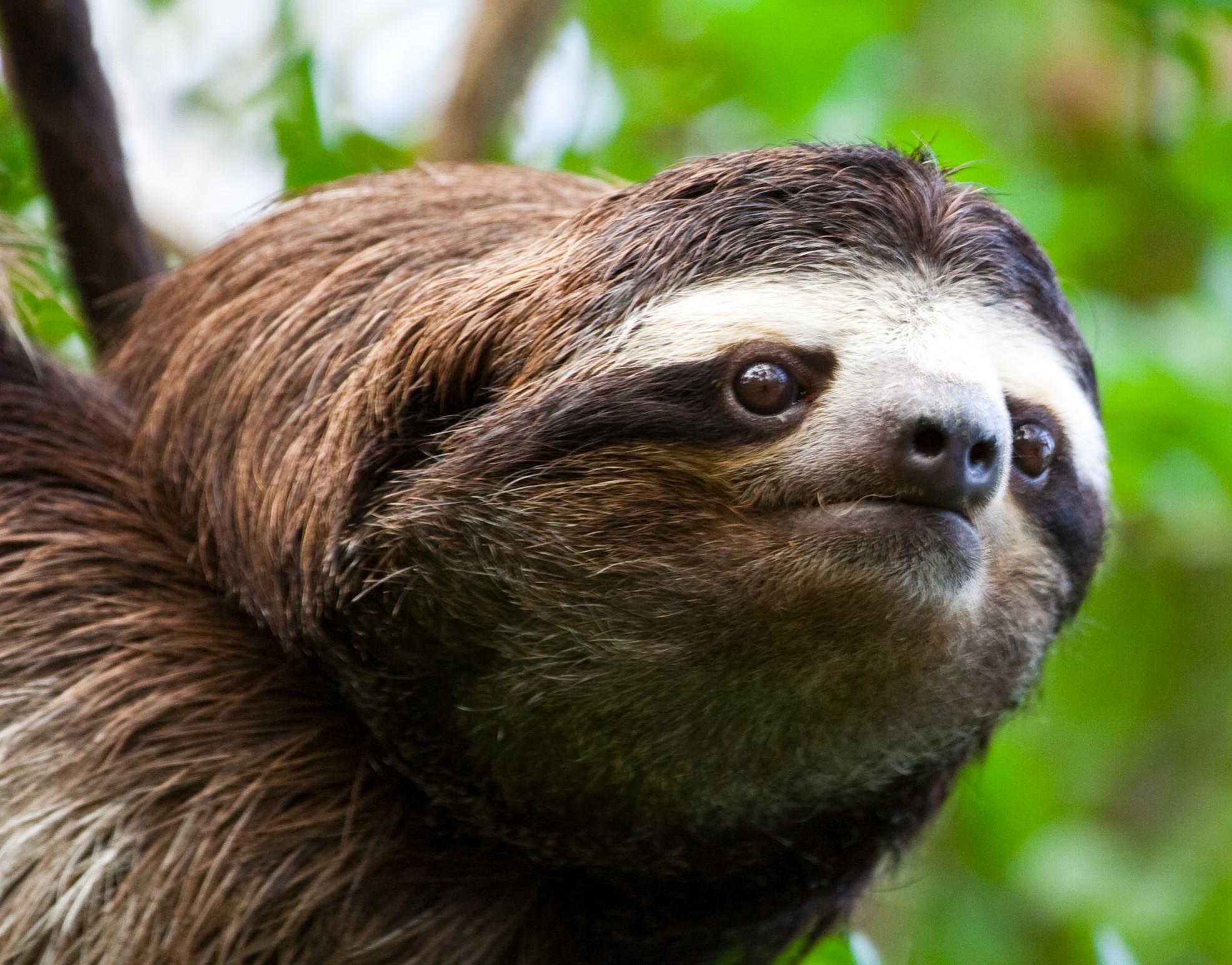 Funny Looking Sloths Desktop Wallpaper