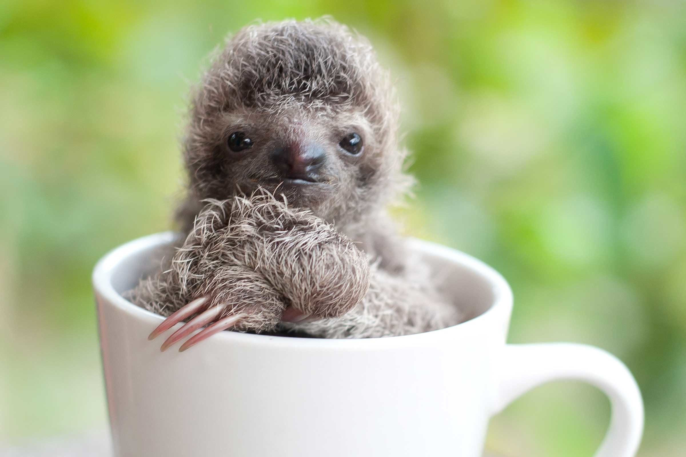 cute pictures of baby sloths …